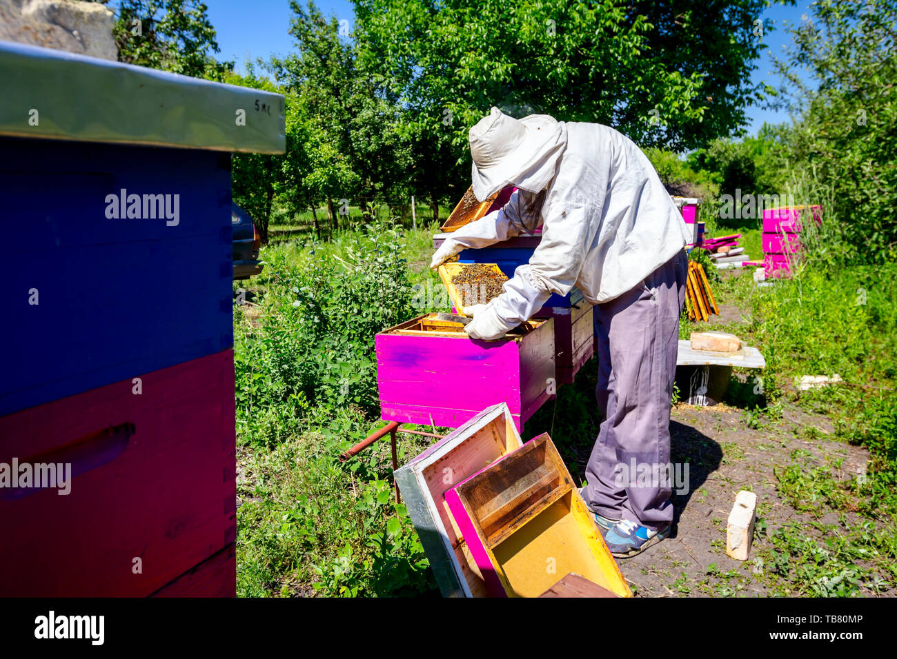 Beekeeper is taking out the honeycomb on wooden frame to control situation in bee colony. - Stock Image