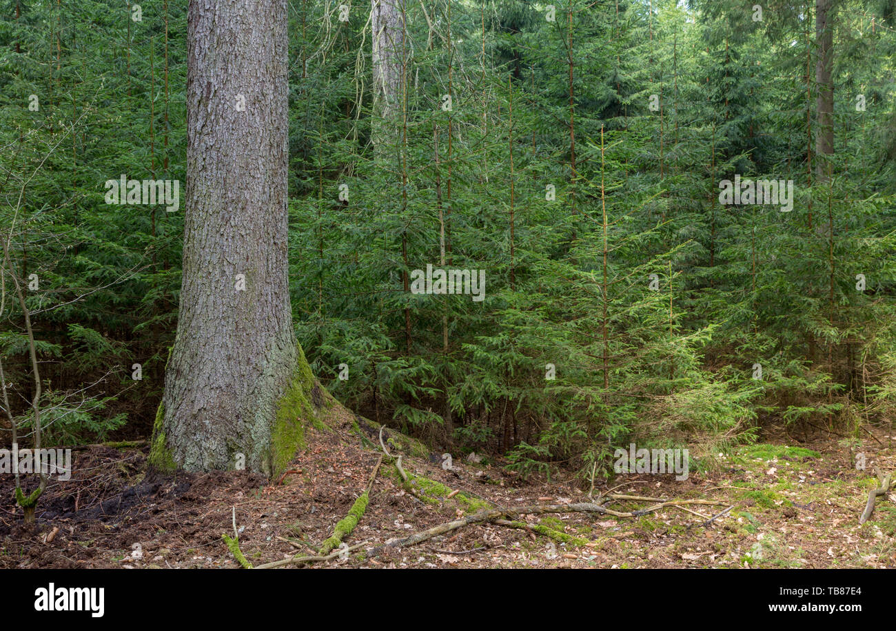 Old Norway Spruce tree and juvenile ones around, Bialowieza Forest, Poland, Europe - Stock Image