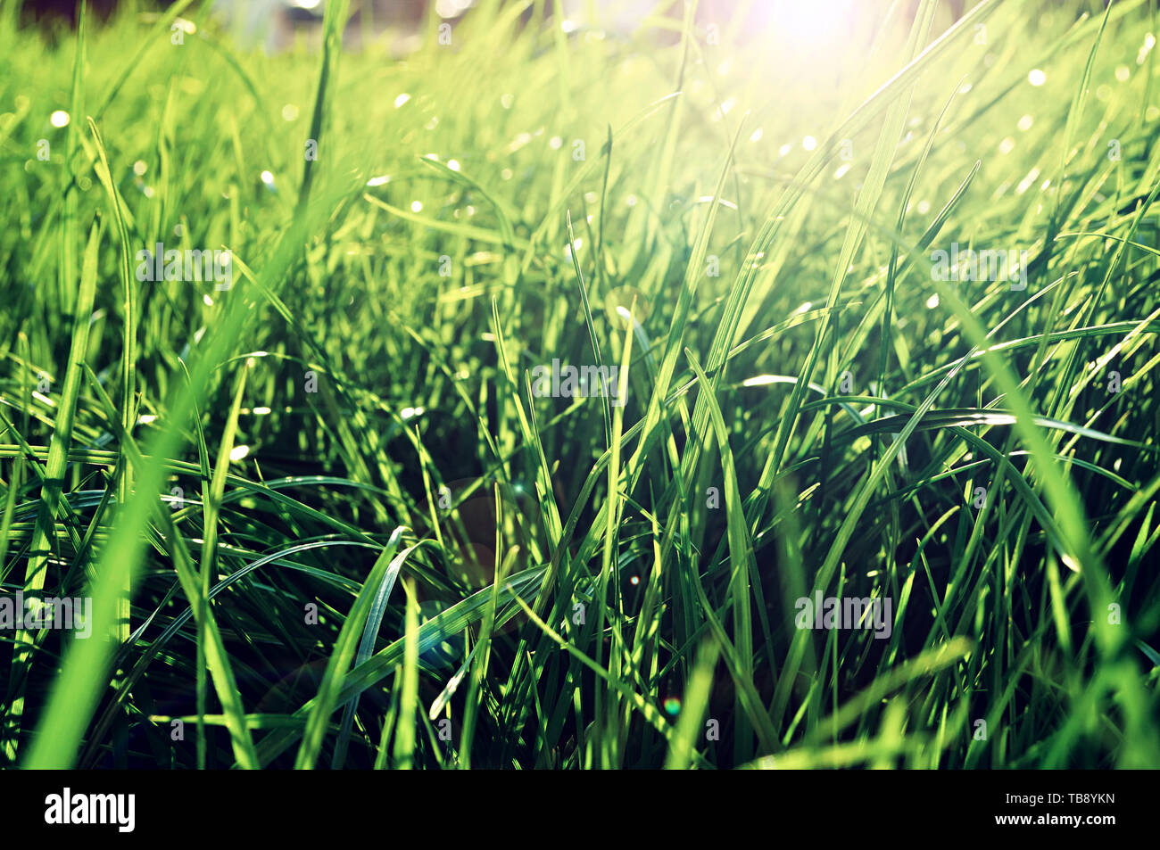 Summer grass background - closeup of fresh bright green grass on the lawn lit by shining sunbeams. Grass landscape, lowest point of shooting - Stock Image