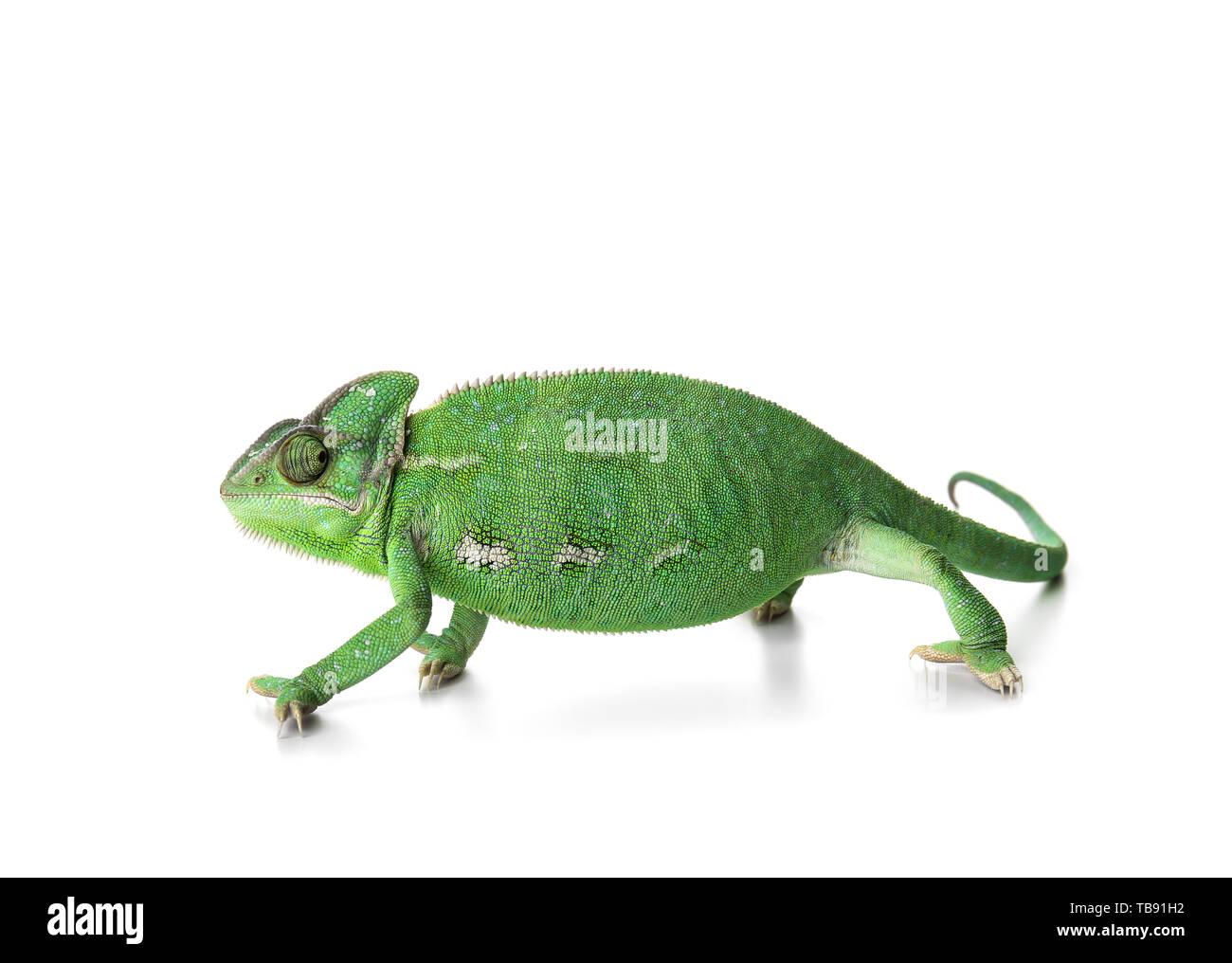 Cute green chameleon on white background - Stock Image