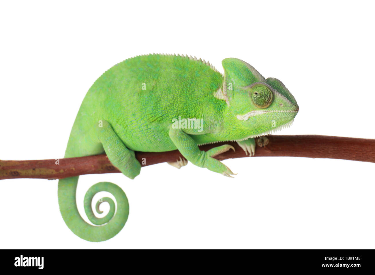 Cute green chameleon on branch against white background - Stock Image