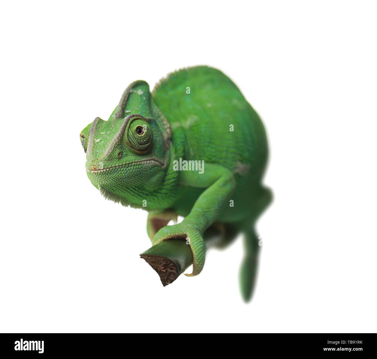 Cute green chameleon on branch against white background - Stock Image