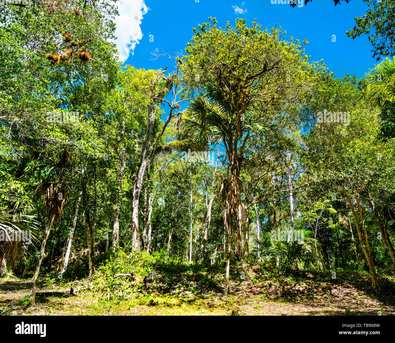 Rainforest at Tikal National Park in Guatemala - Stock Image