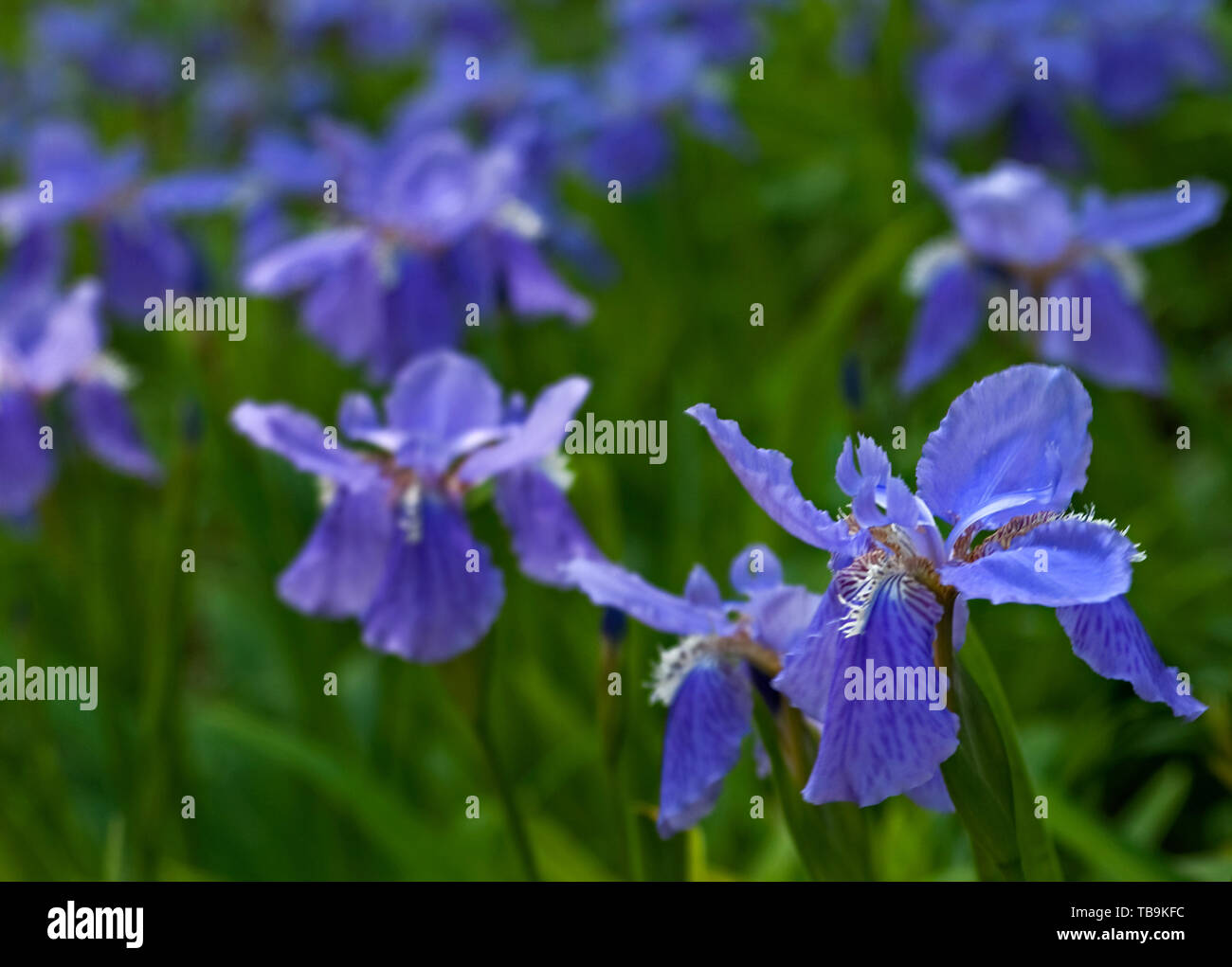 Purple bearded irises line the property outside Rosewood Manor in Columbus, Mississippi, April 16, 2010. - Stock Image
