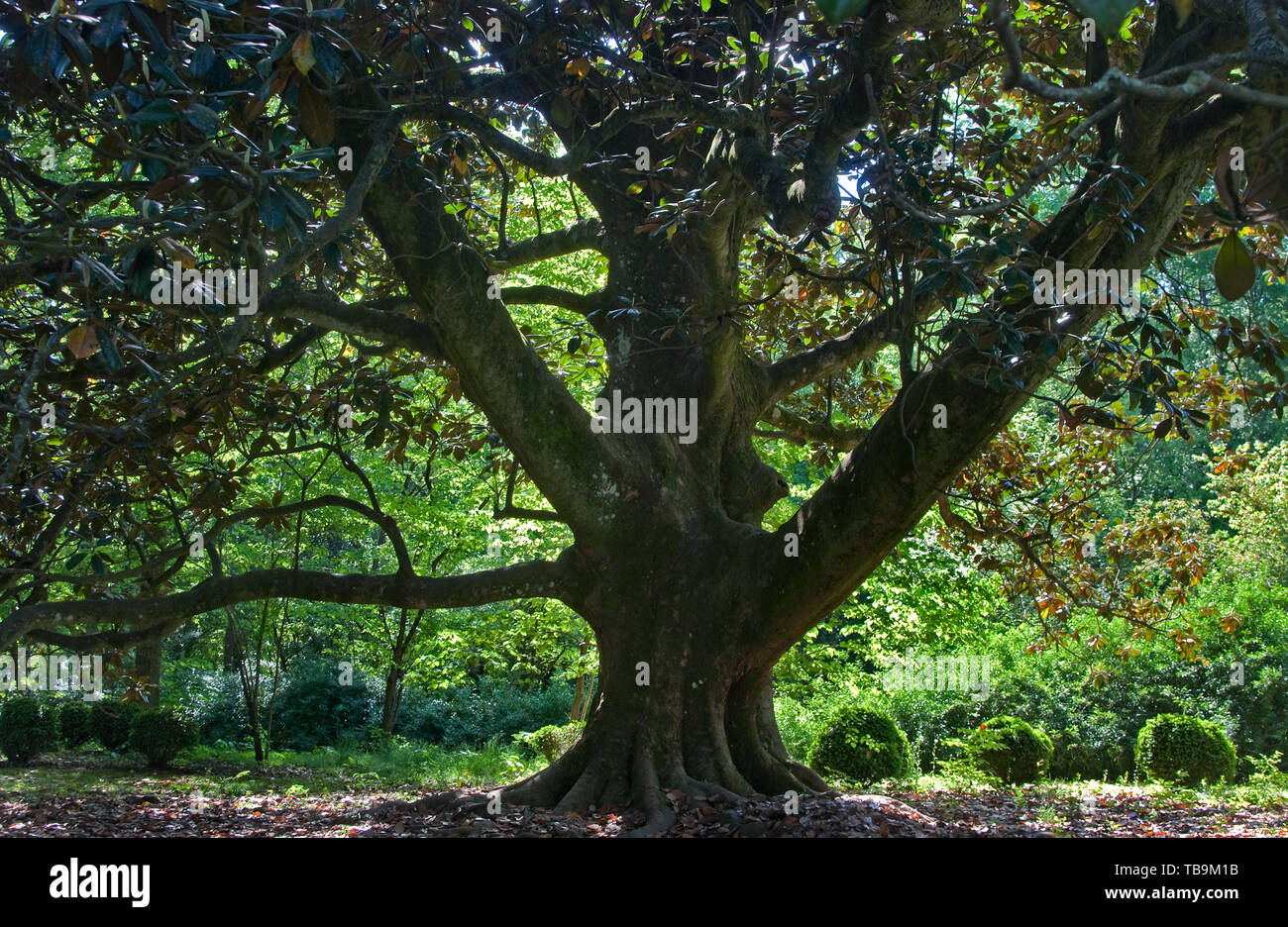 Southern Magnolia Tree High Resolution Stock Photography And Images Alamy
