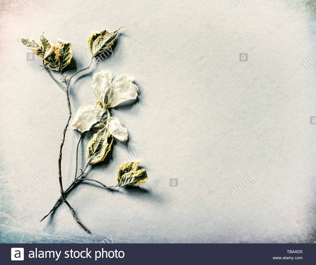 Cream White Card with Dried White Dogwood Flower, leaves and stems on paper background with room or space for copy, text or your words.  Horizontal - Stock Image