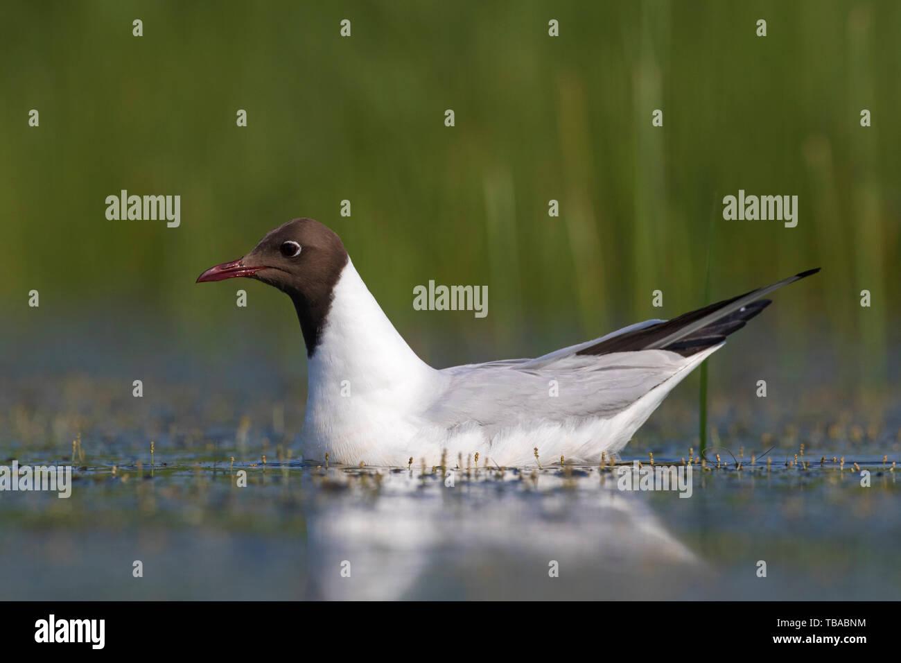 Black-headed gull (Chroicocephalus ridibundus / Larus ridibundus) in breeding plumage swimming in lake in wetland Stock Photo