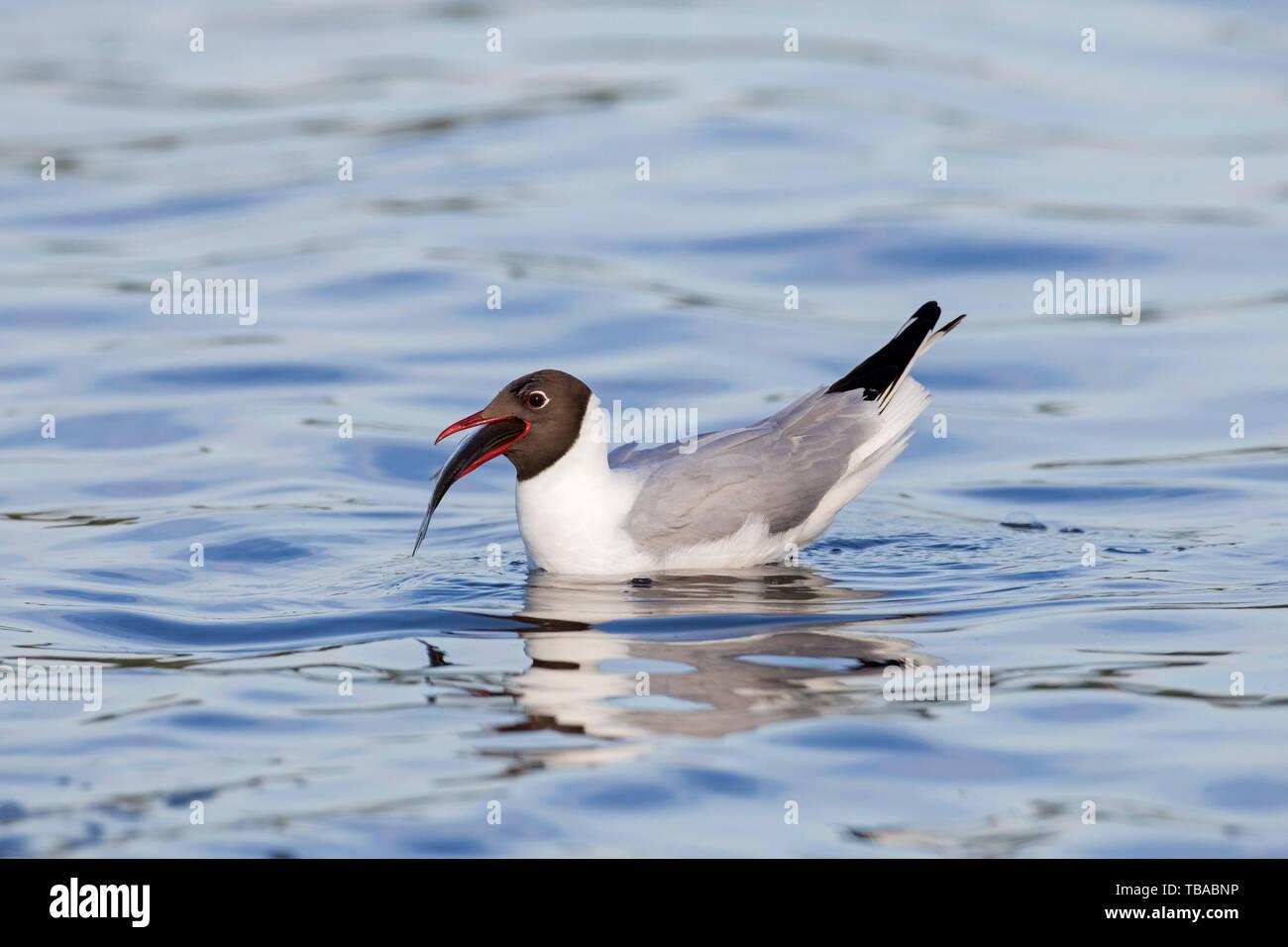 Black-headed gull (Chroicocephalus ridibundus / Larus ridibundus) swimming in lake with caught fish in beak Stock Photo