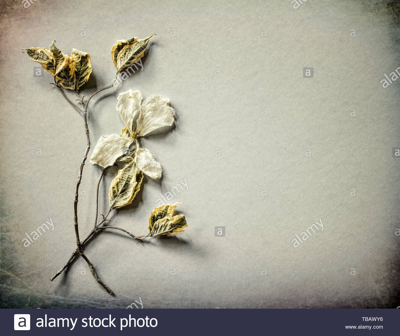 Gray Card with Dried White Dogwood Flower, leaves and stems on gray paper background with room or space for copy, text or your words.  Horizontal with - Stock Image