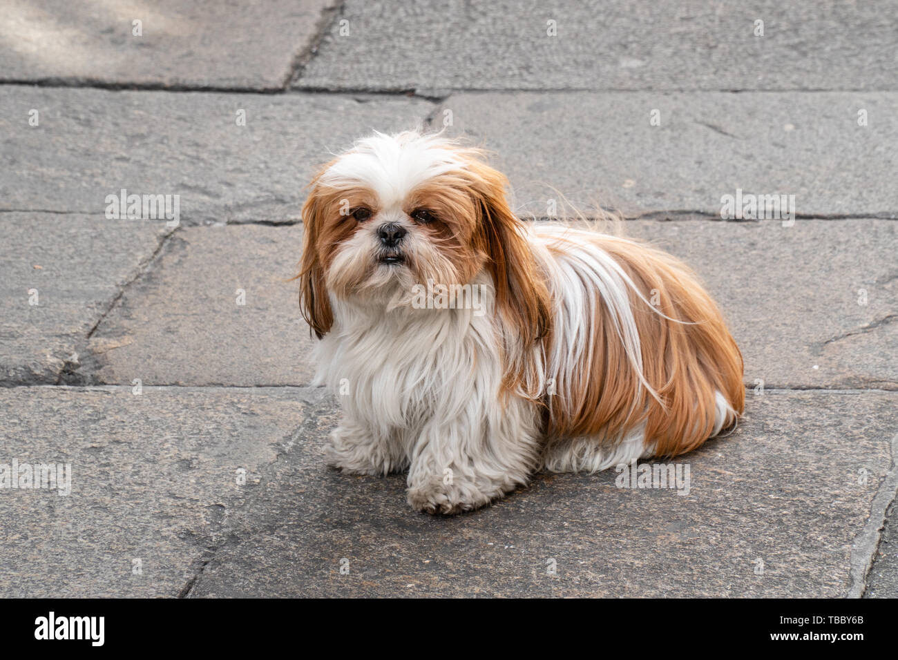 Long Hair Shih Tzu High Resolution Stock Photography And Images Alamy