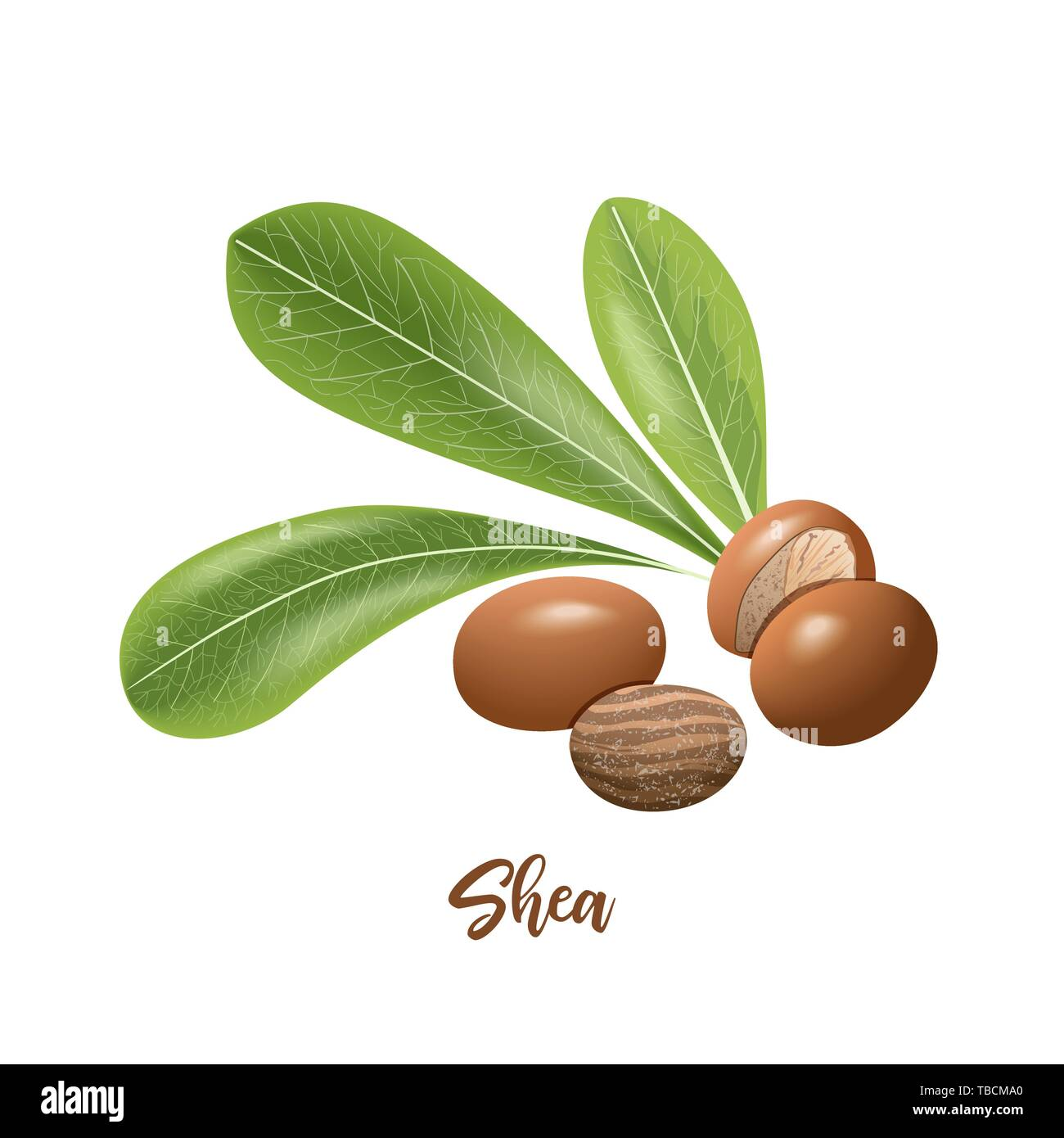 Shea nuts and leaves. shi tree pods whole and peeled. Vitellaria paradoxa. Card template copy space. Oilplant Stock Vector