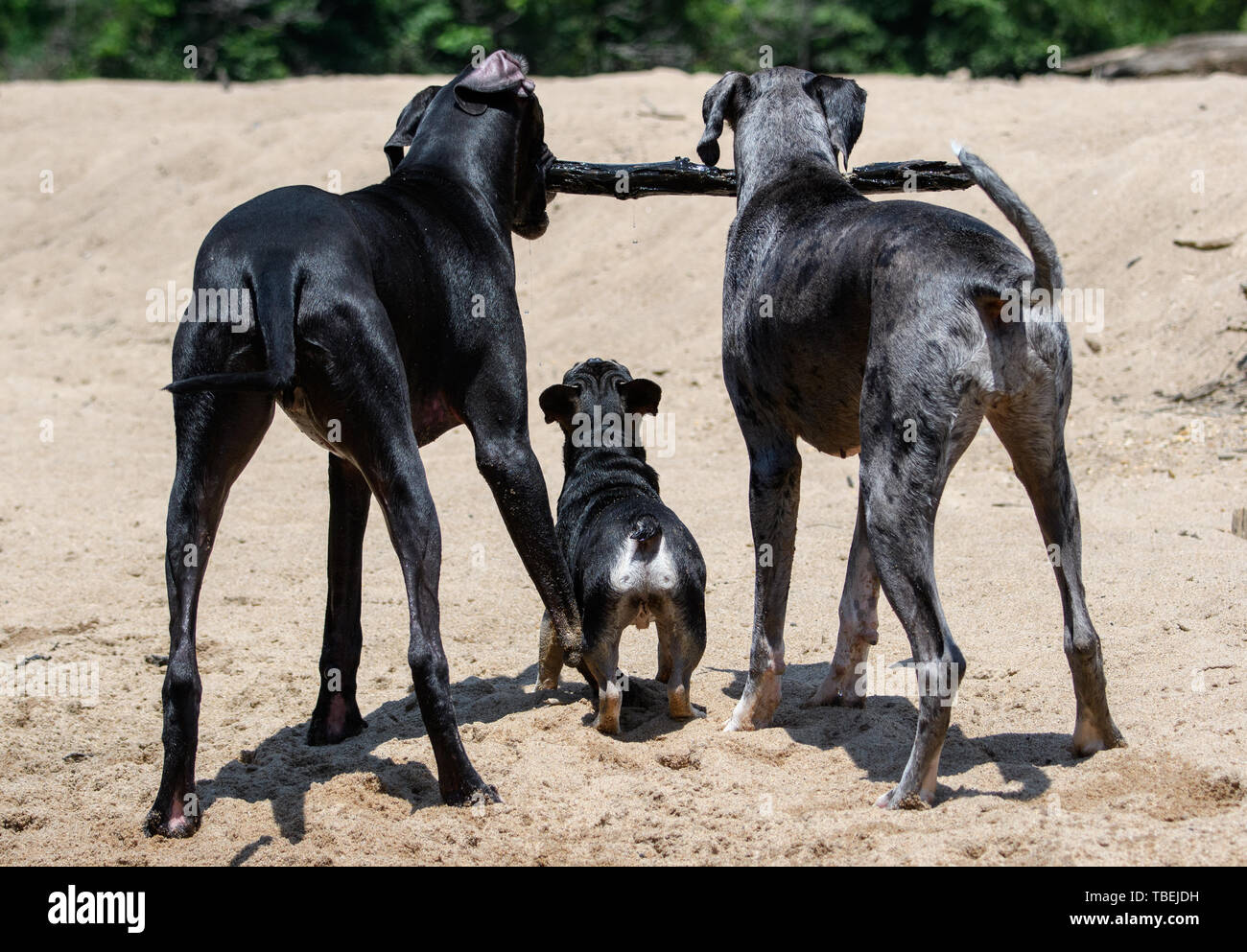 A French Bulldog trying to reach a stick that two Great Danes are playing with on the beach - Stock Image