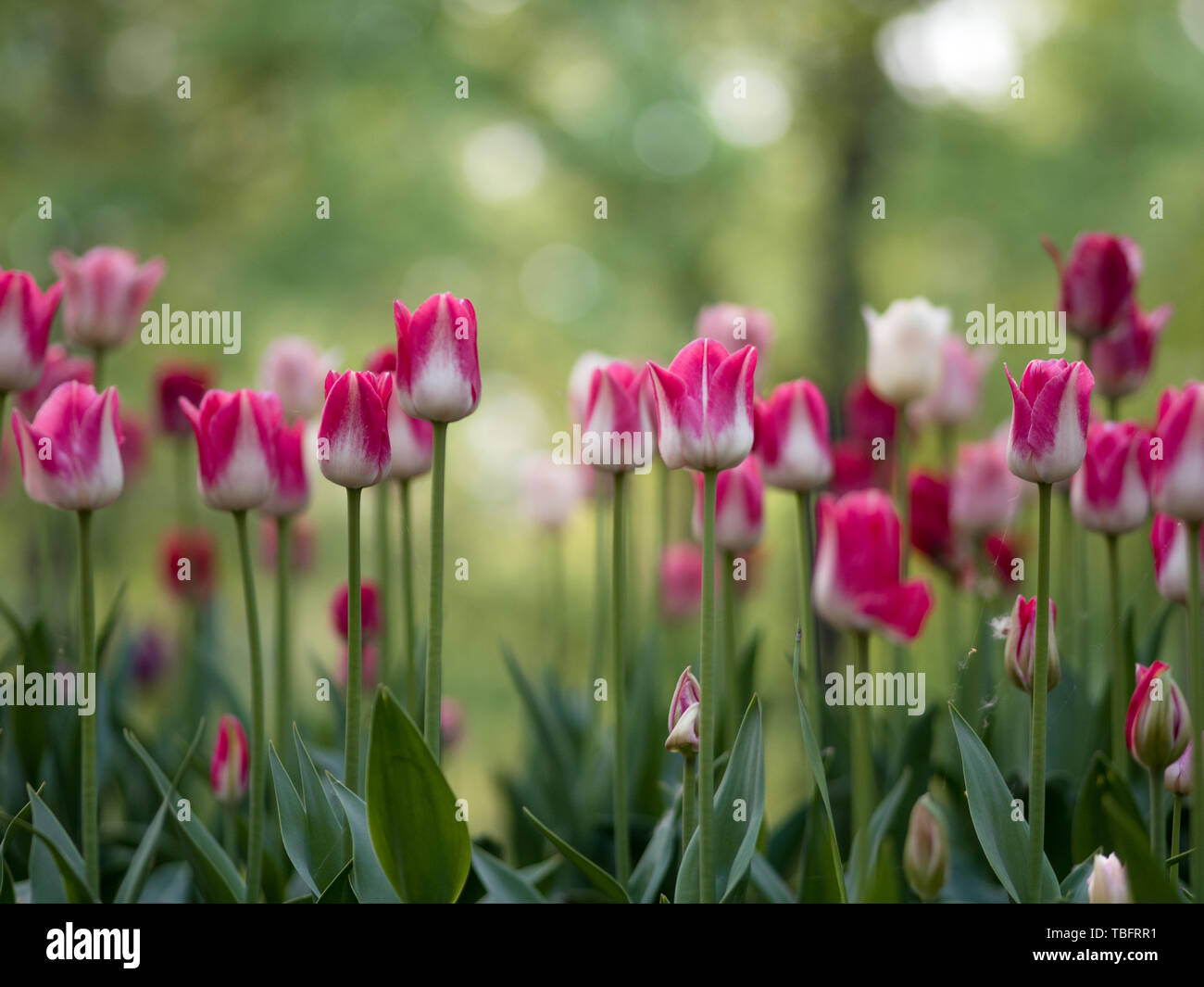 Close-up of white and pink two tones tulips blooming in the meadow, blurred background. - Stock Image