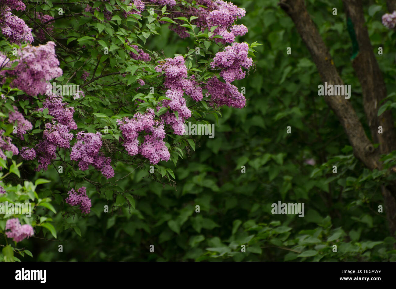 Beautiful Purple Lilac Bush In The Garden Dark Moody Hipster