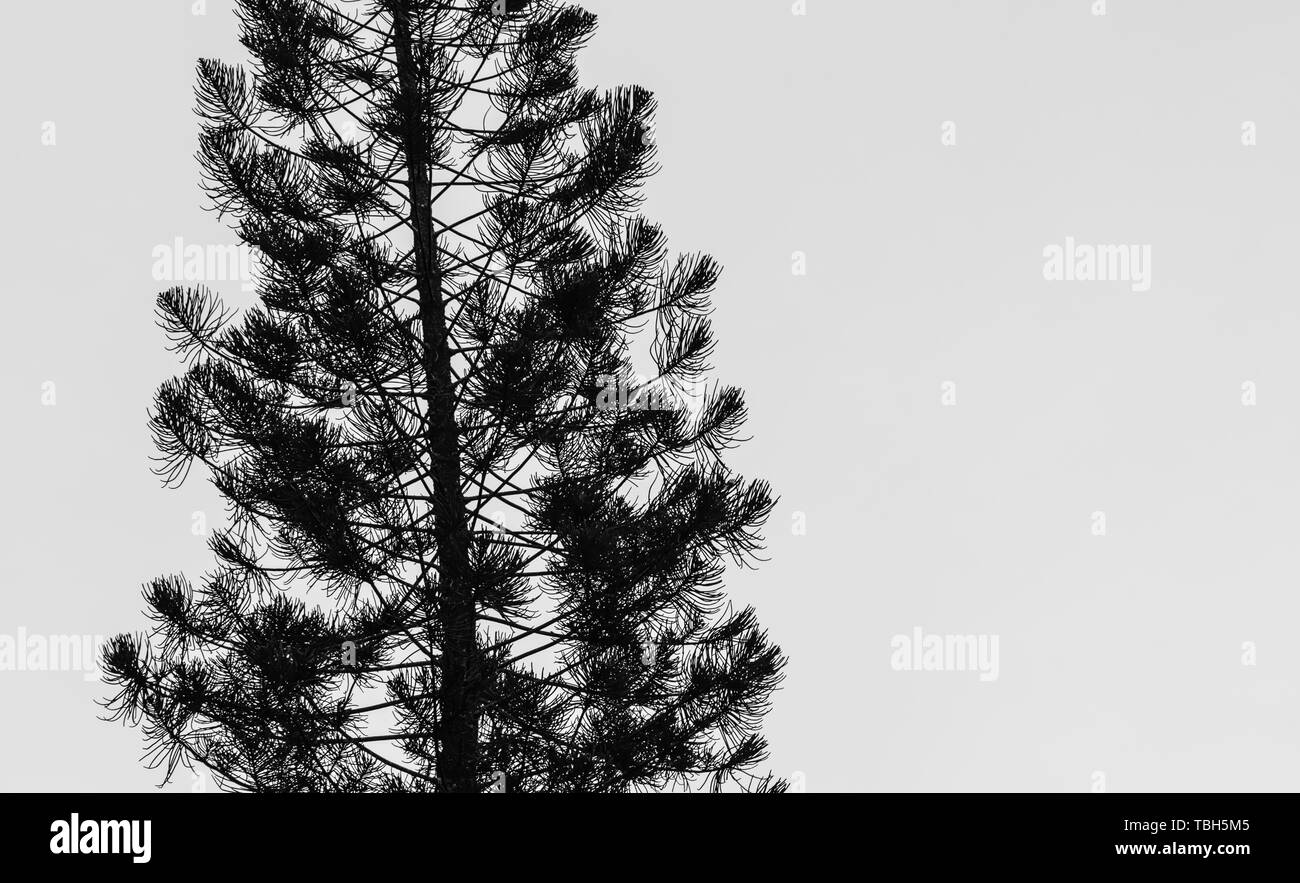 pine tree sihouette in white background - Stock Image