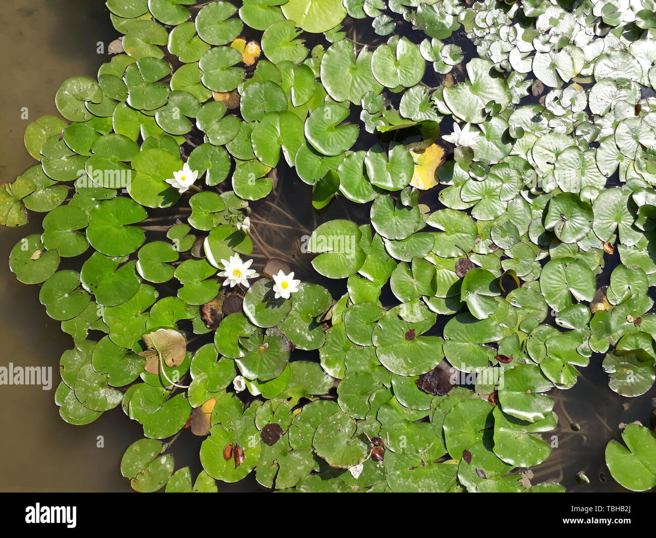 Lake covered with water lilies in bloom and large green leaves. Stock Photo