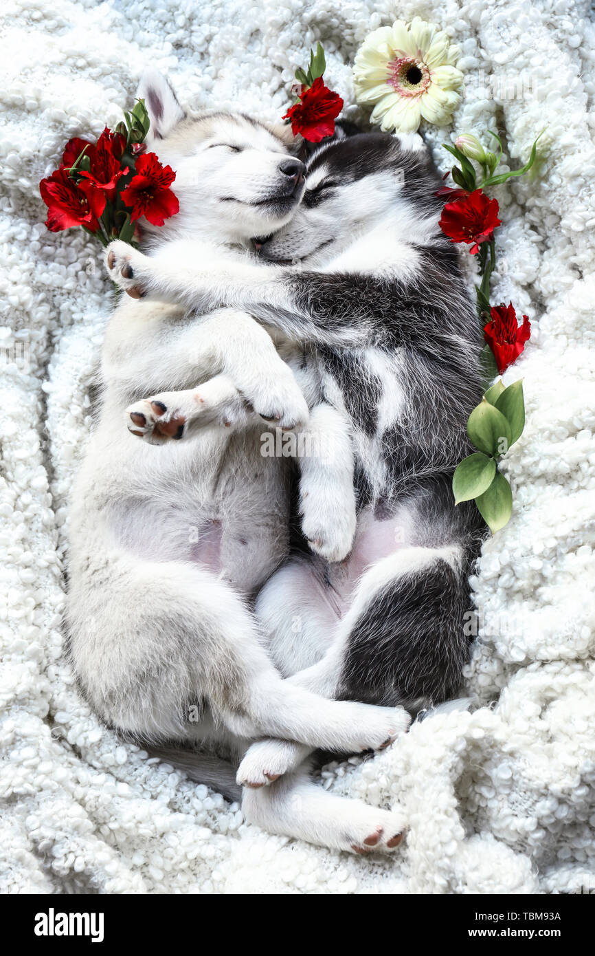 Cute Husky High Resolution Stock Photography And Images Alamy