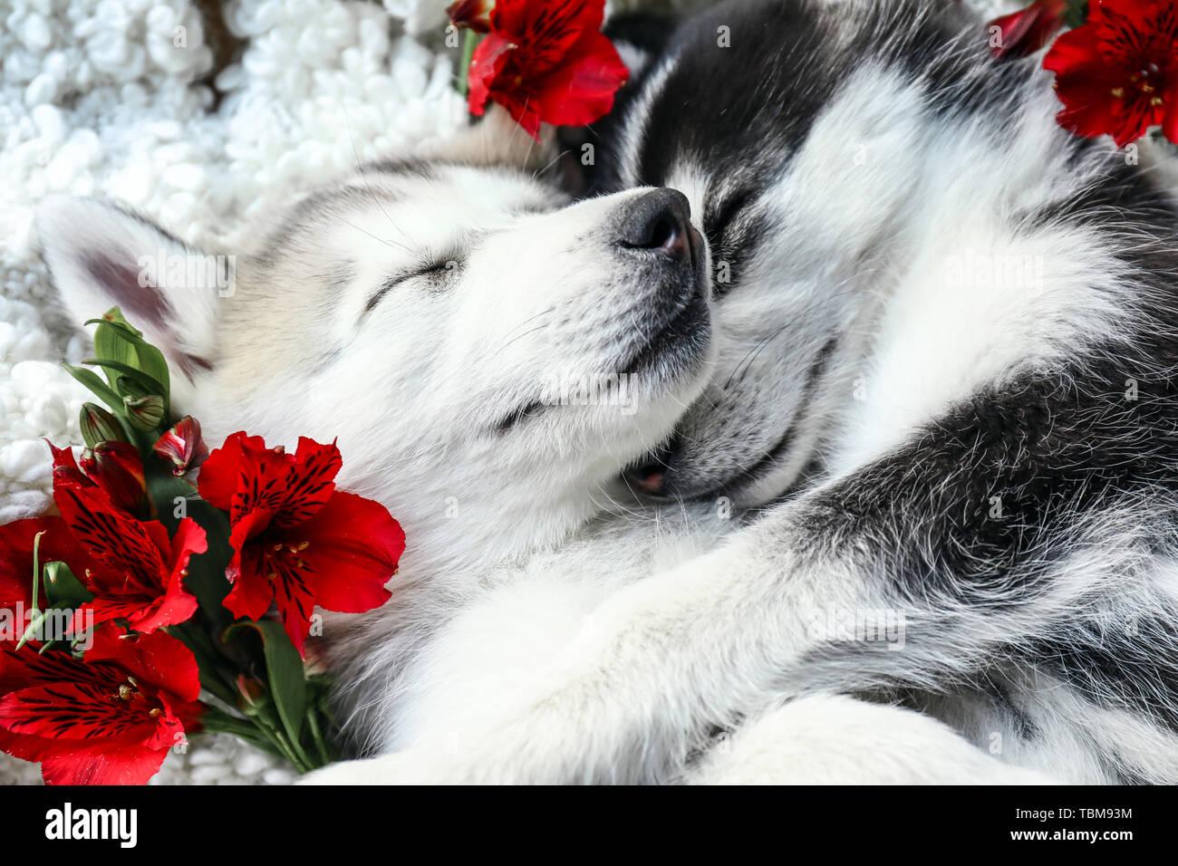 Husky Puppies High Resolution Stock Photography And Images Alamy