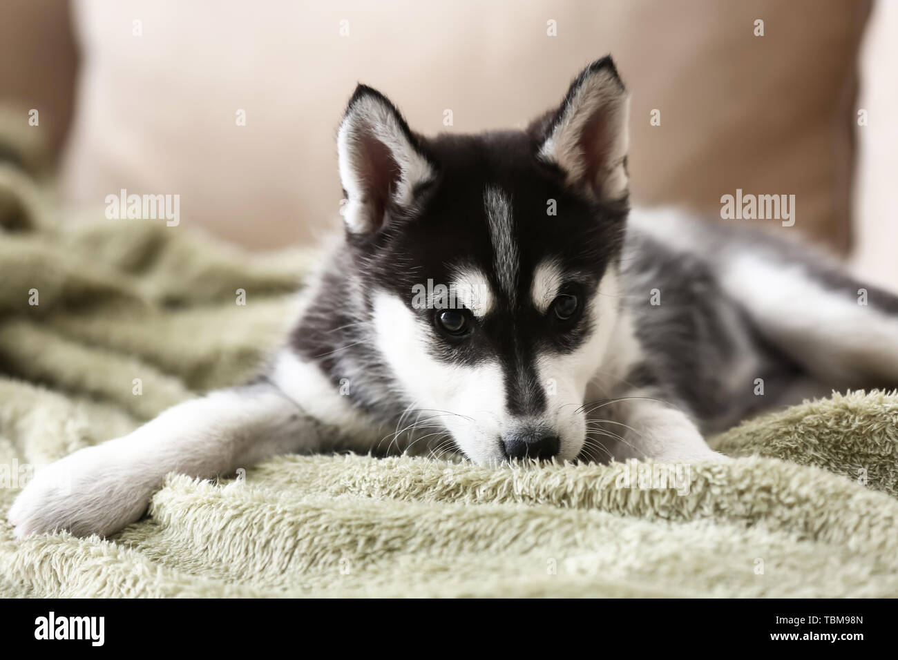 Cute Husky Puppy On Sofa At Home Stock Photo Alamy