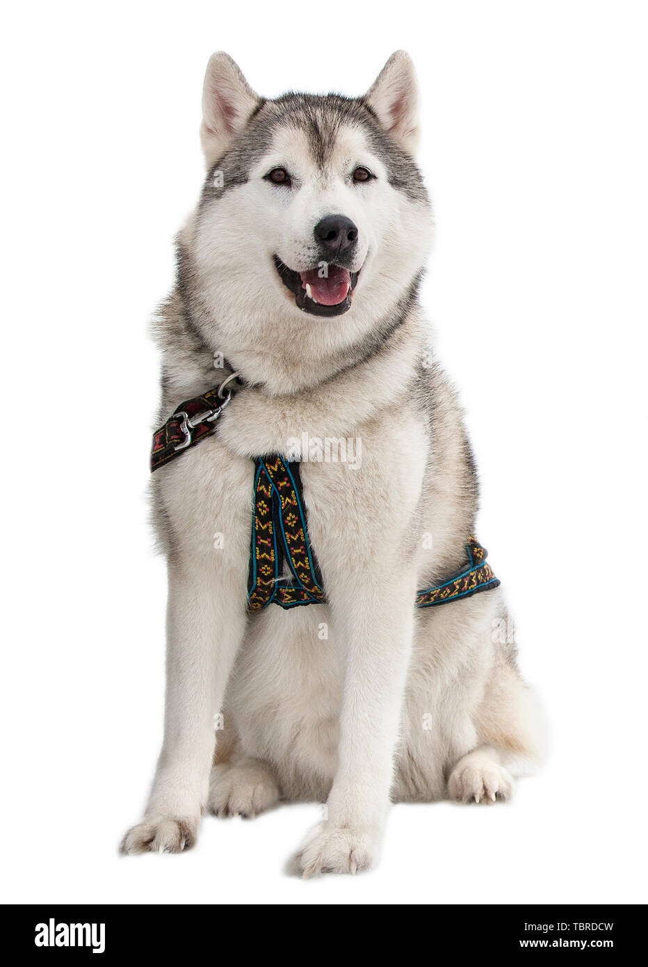 Siberian Husky in front of a white background - Stock Image
