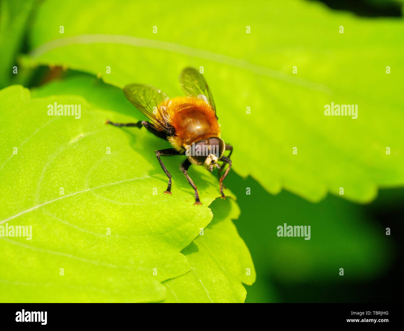 Narcissus bulb fly (Merodon equestris). Stock Photo