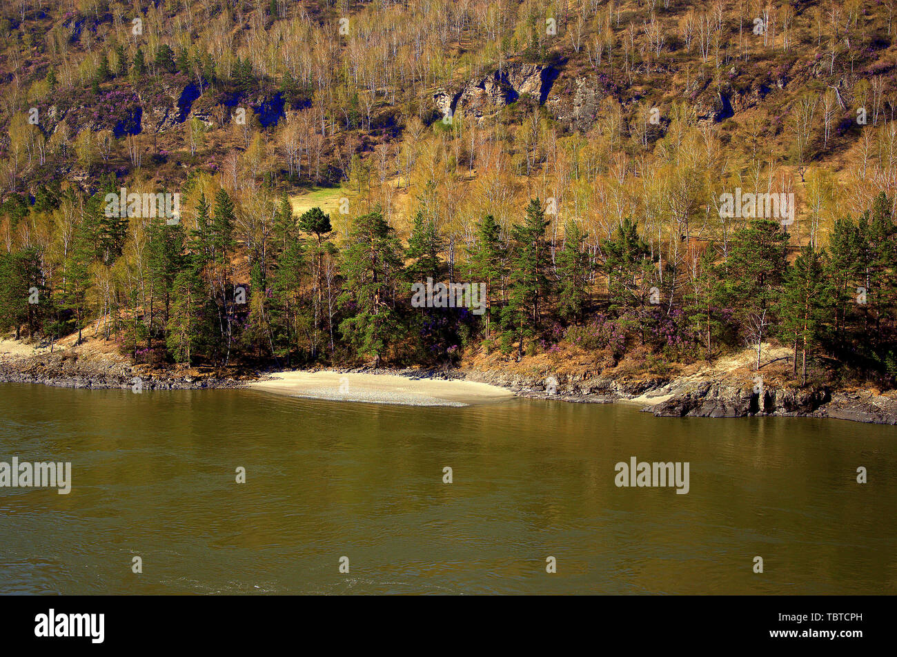 Stony shore with a sandy beach of the Katun mountain river, covered with coniferous forest. Altai, Siberia, Russia. - Stock Image
