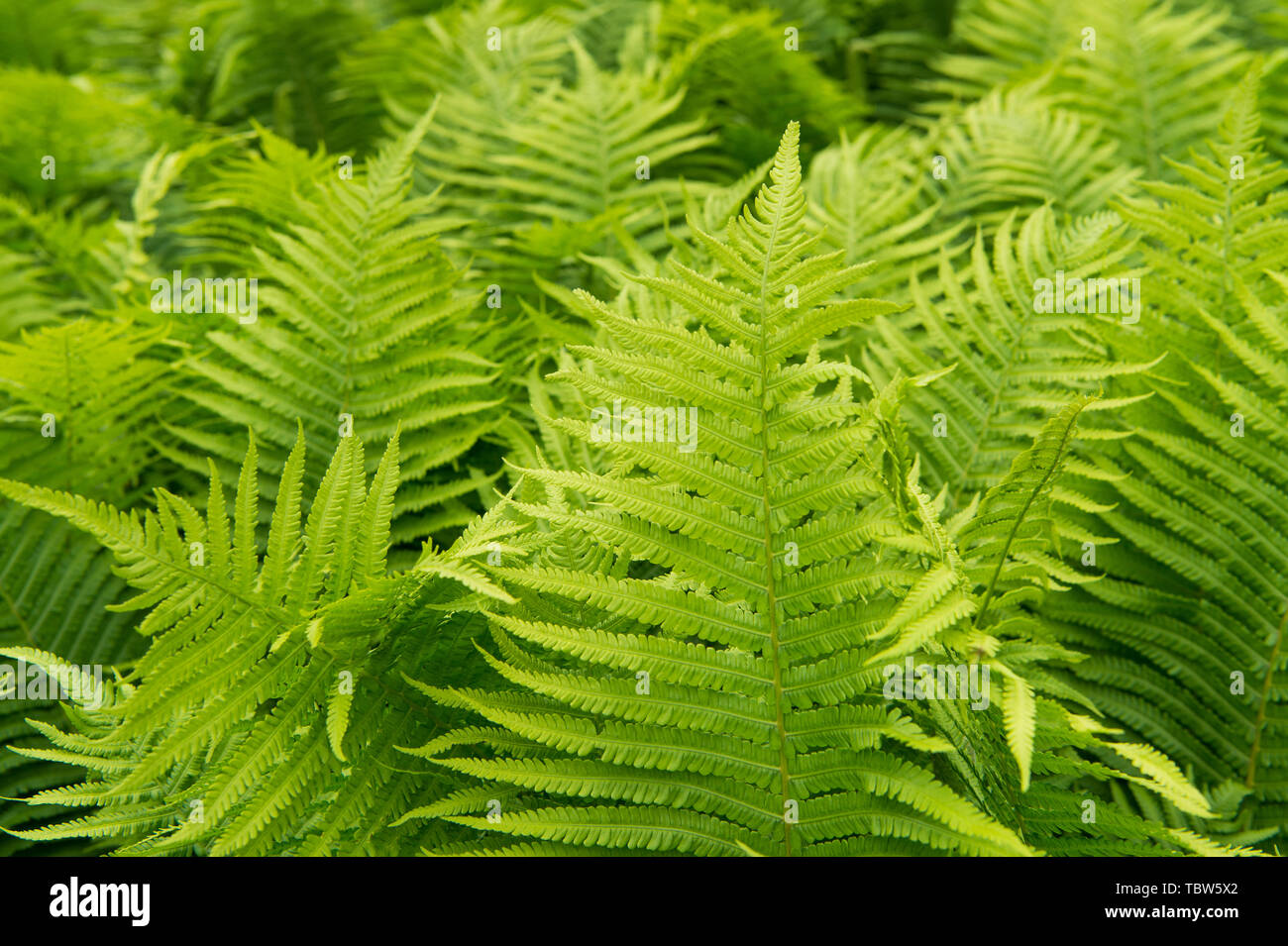 Beautiful ferns leaves green foliage nature. Floral fern background. Ferns leaves green foliage. Tropical leaf. Exotic forest plant. Botany concept. Ferns jungles. Vibrant ferns close up. - Stock Image