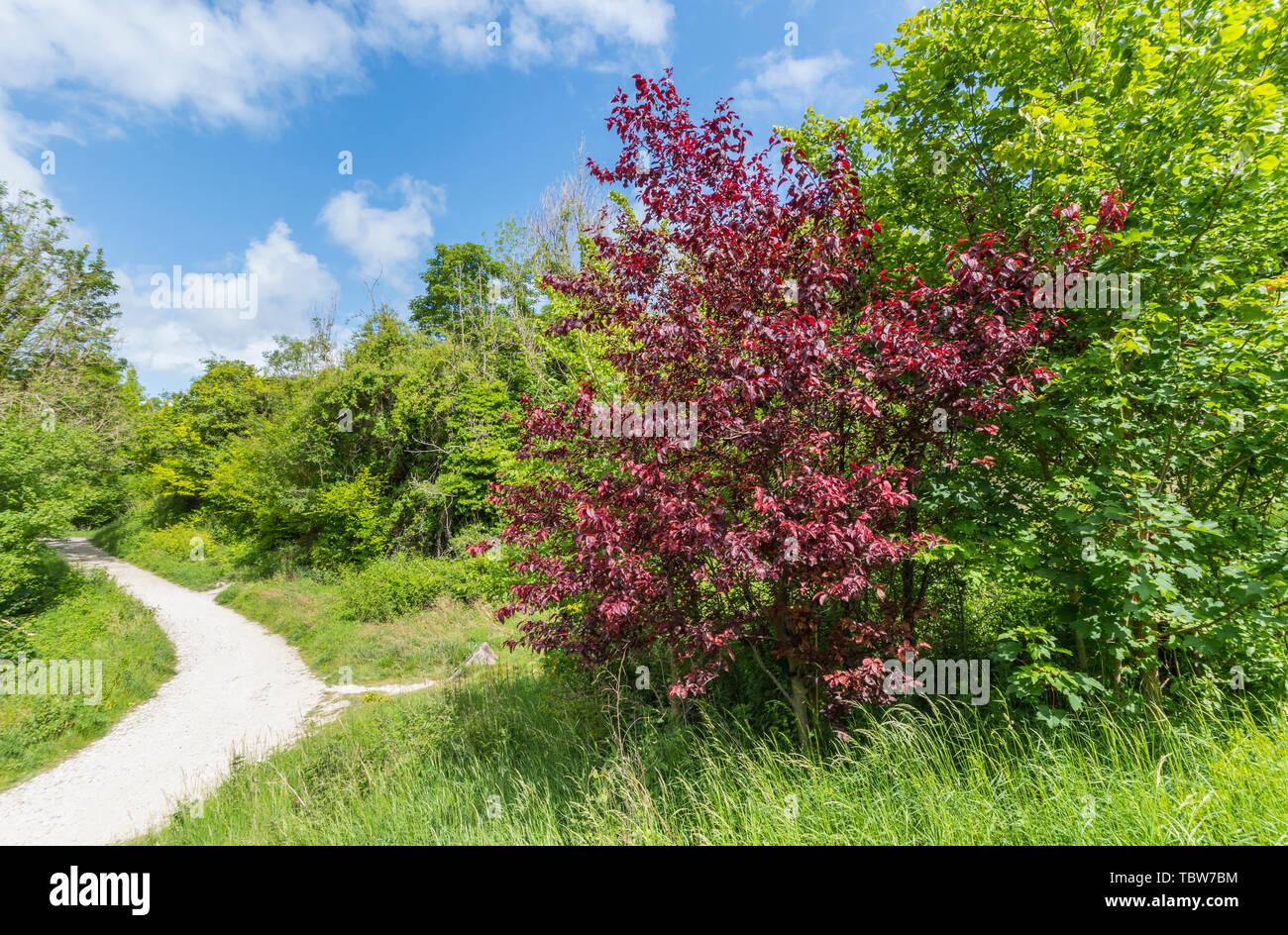 Small Prunus Cerasifera Tree Cherry Plum Tree Or Purple Leaf Plum