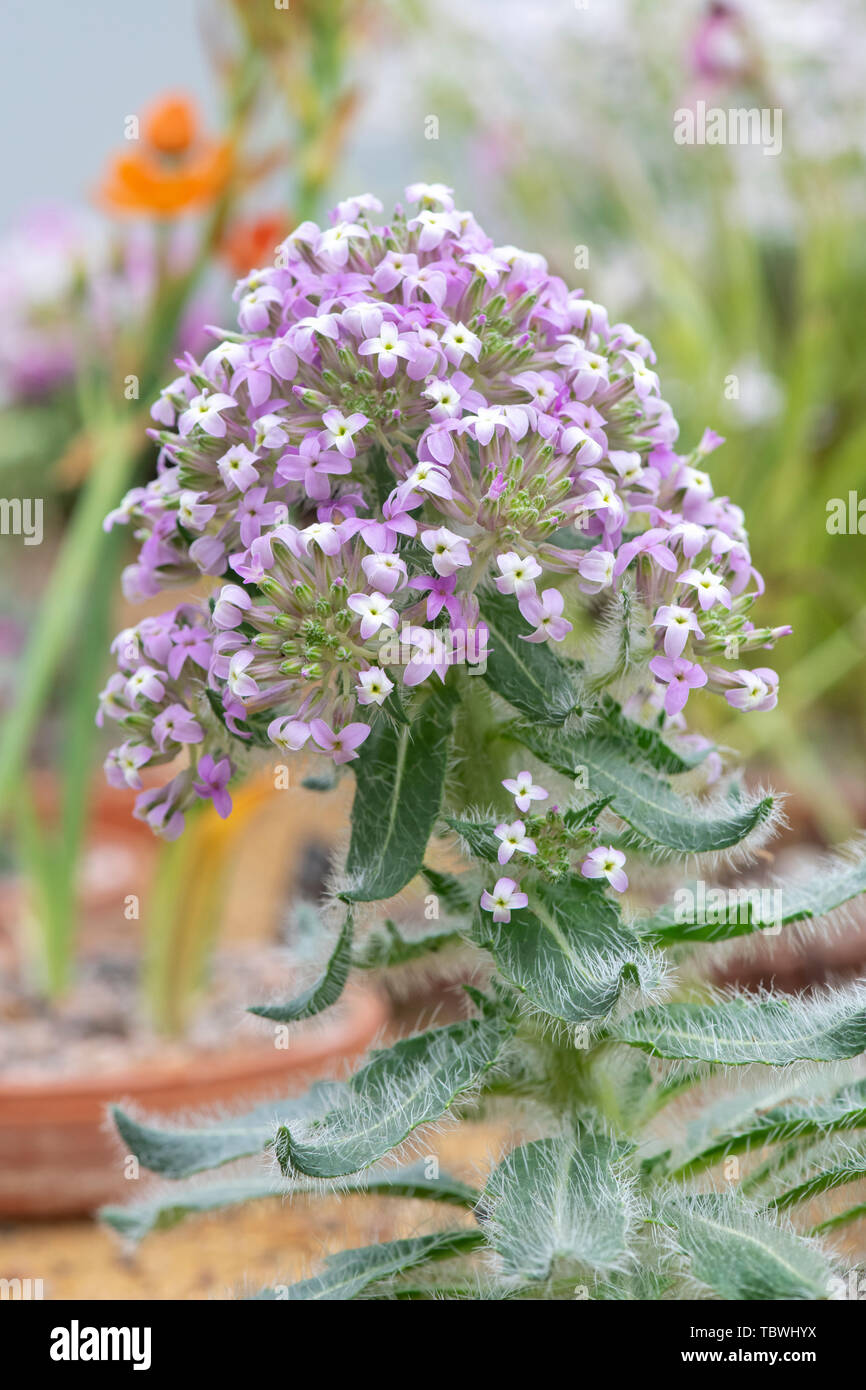 Tchihatchewia isatidea flowering plant in flower in the RHS Wisley gardens alpine house, Surrey, England - Stock Image