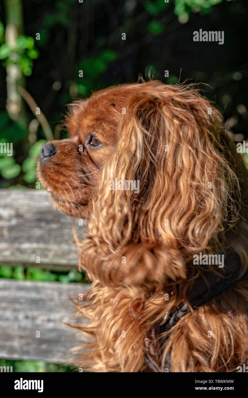 Cavalier King Charles Spaniel in Brown Ruby - Stock Image