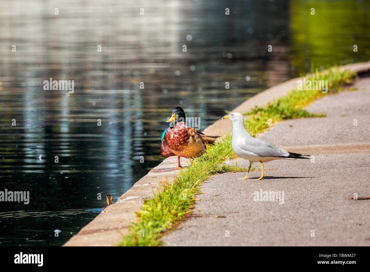 A mallard duck and a seagull standing together near the pond. Togetherness and friendship in nature - Stock Image