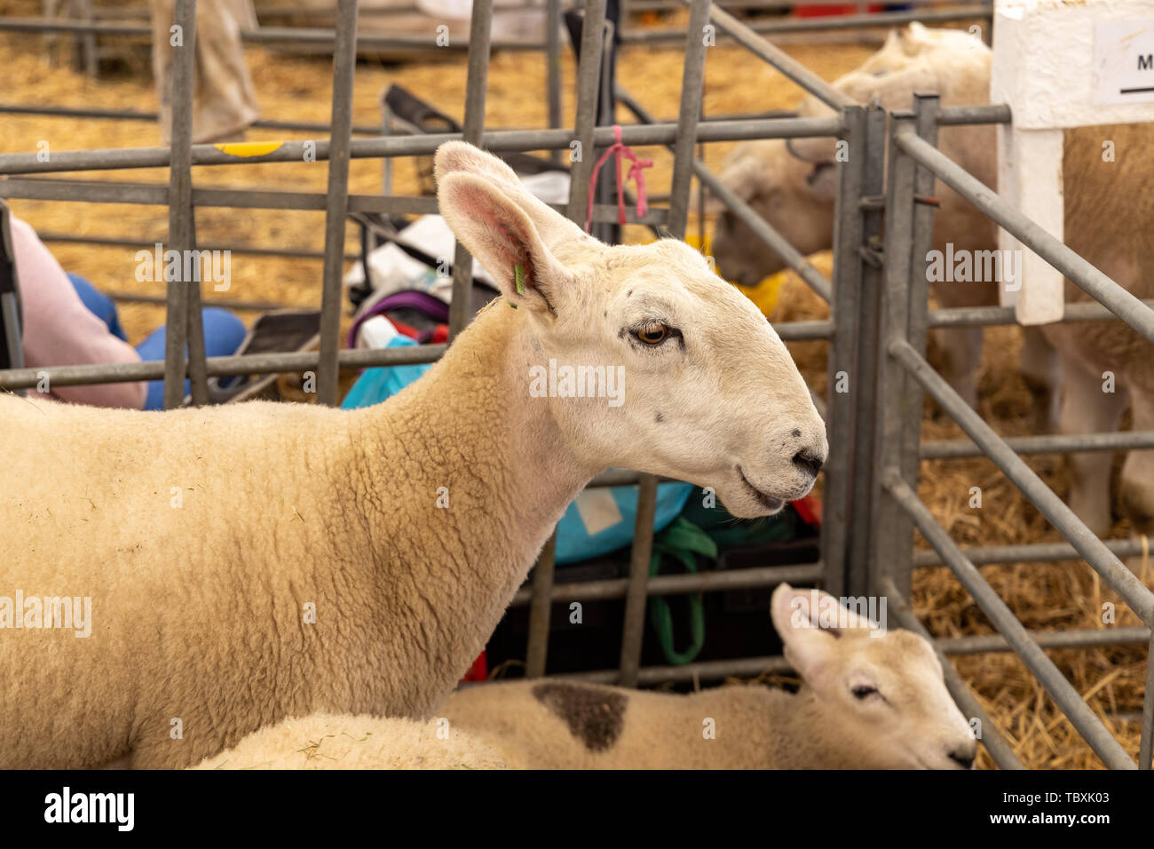 Sheep at the Devon County Show - Stock Image