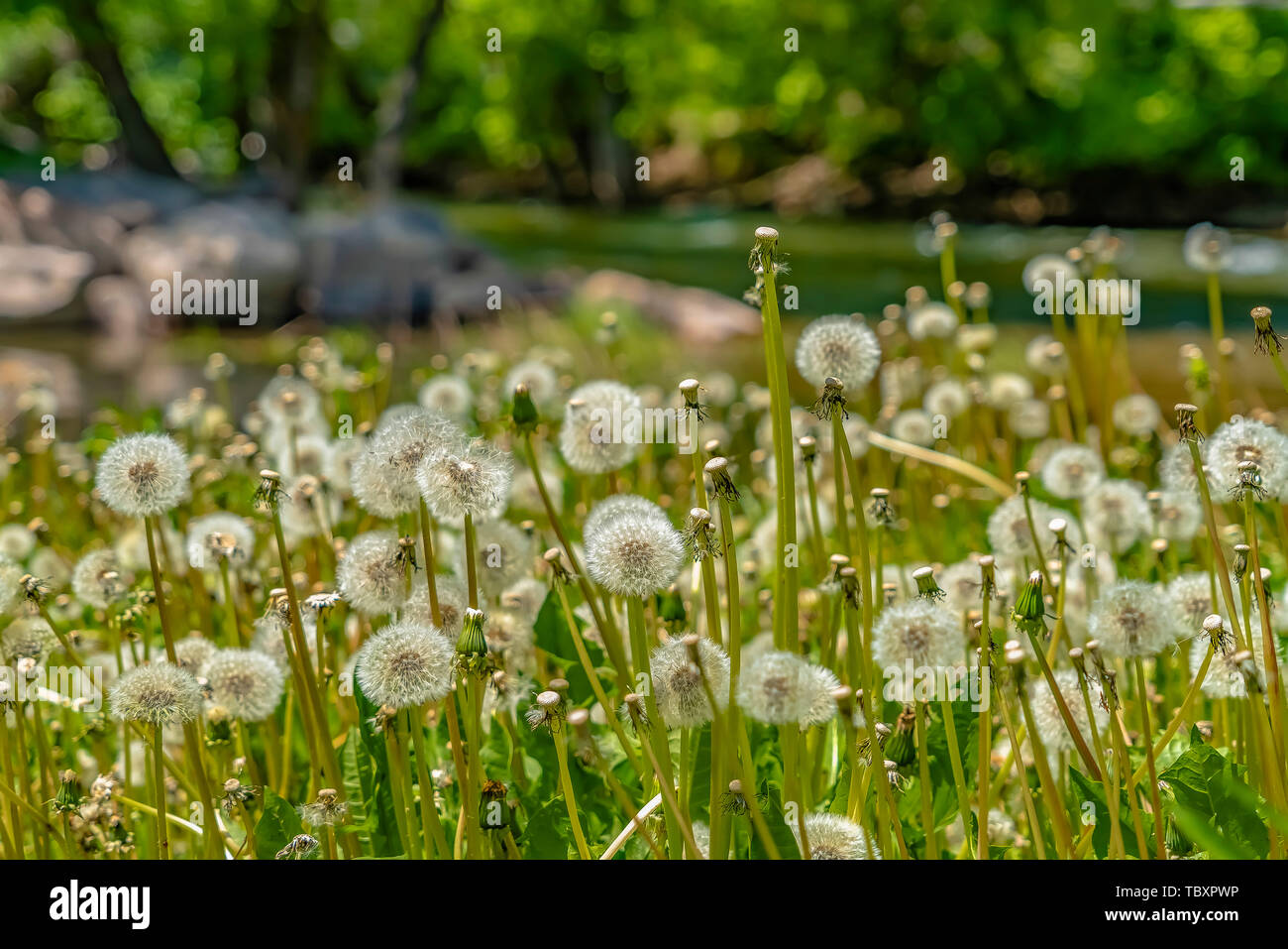 Close up of dandelions with white flowers and bright green stems on a sunny day - Stock Image