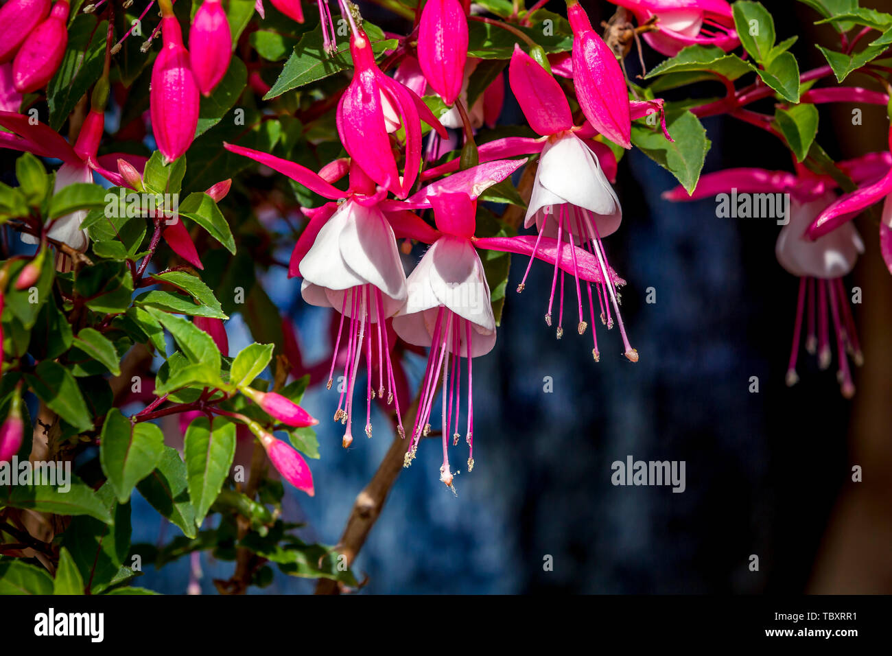 FUCHSIA MICROPHYLLA PINK  CONTAINER GARDEN HARDY PERENNIAL HEDGING PLANT
