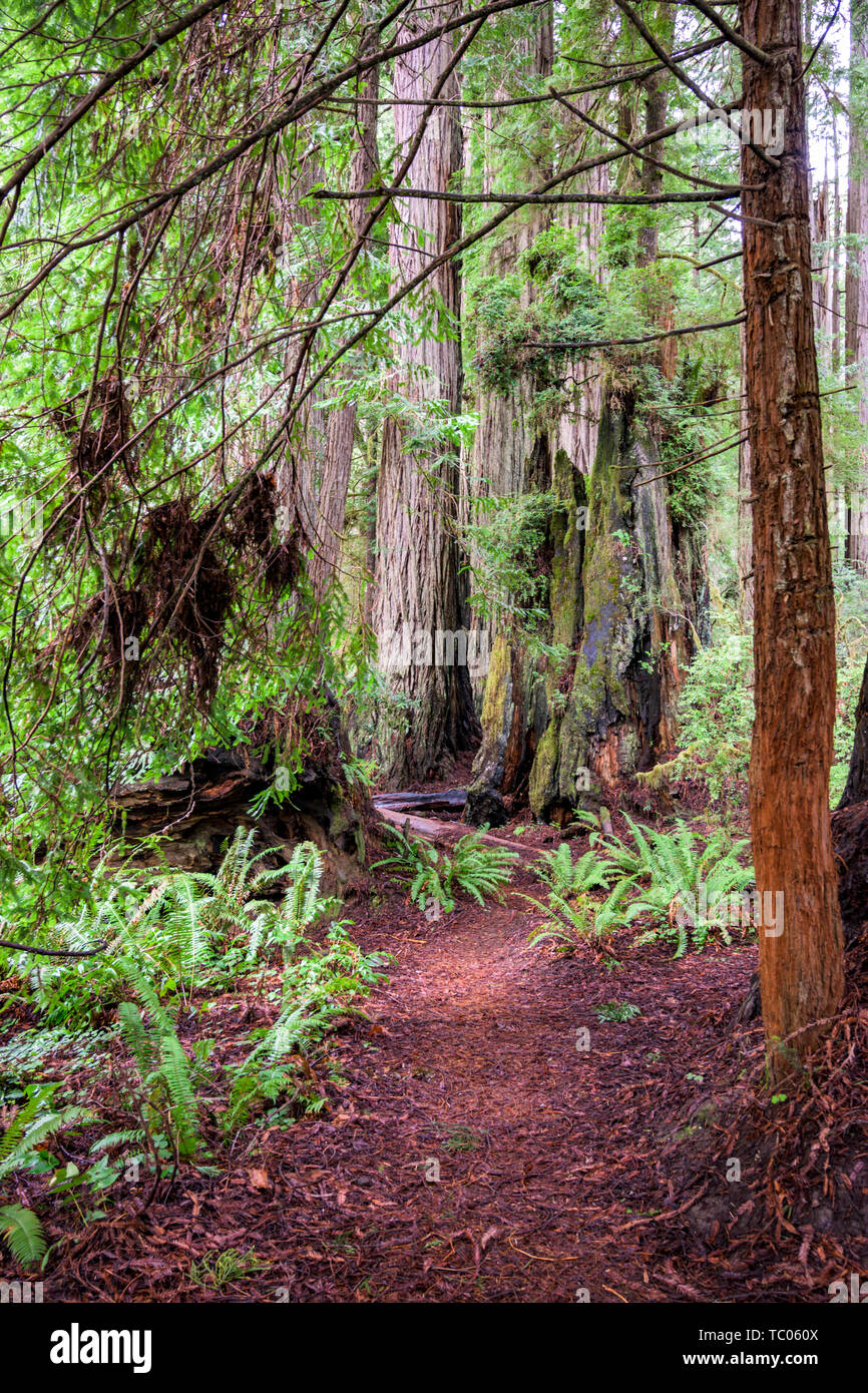 Trail Into Redwood Forest in Pacific northwest - Stock Image