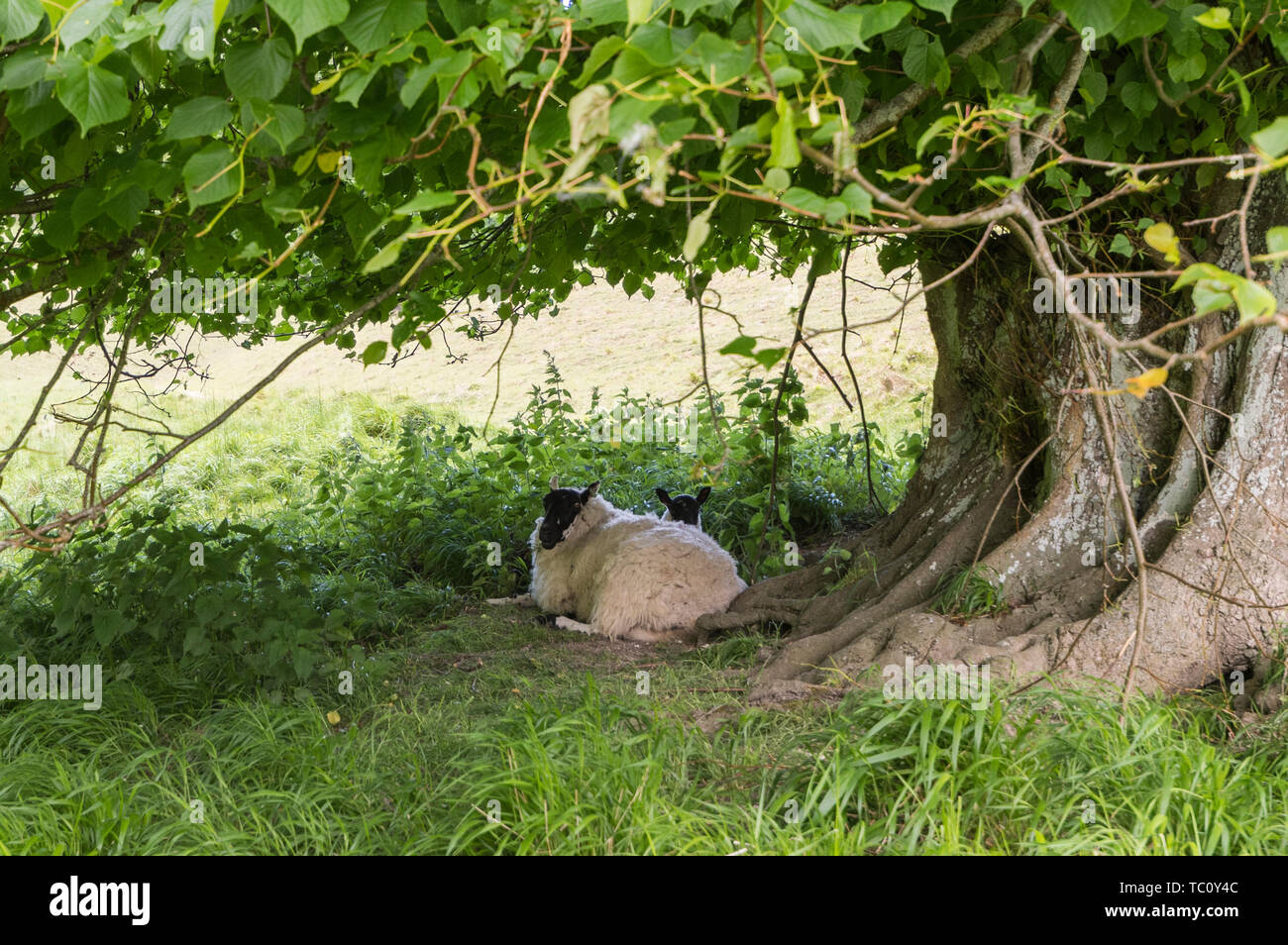 Sheep sitting on the ground taking shelter under a tree. Animal sheltering under a tree in England, UK. - Stock Image