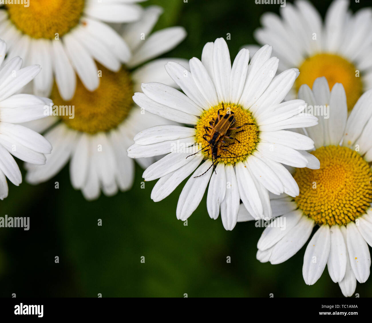 Fireflies get friendly on the center of a daisy in the field. - Stock Image