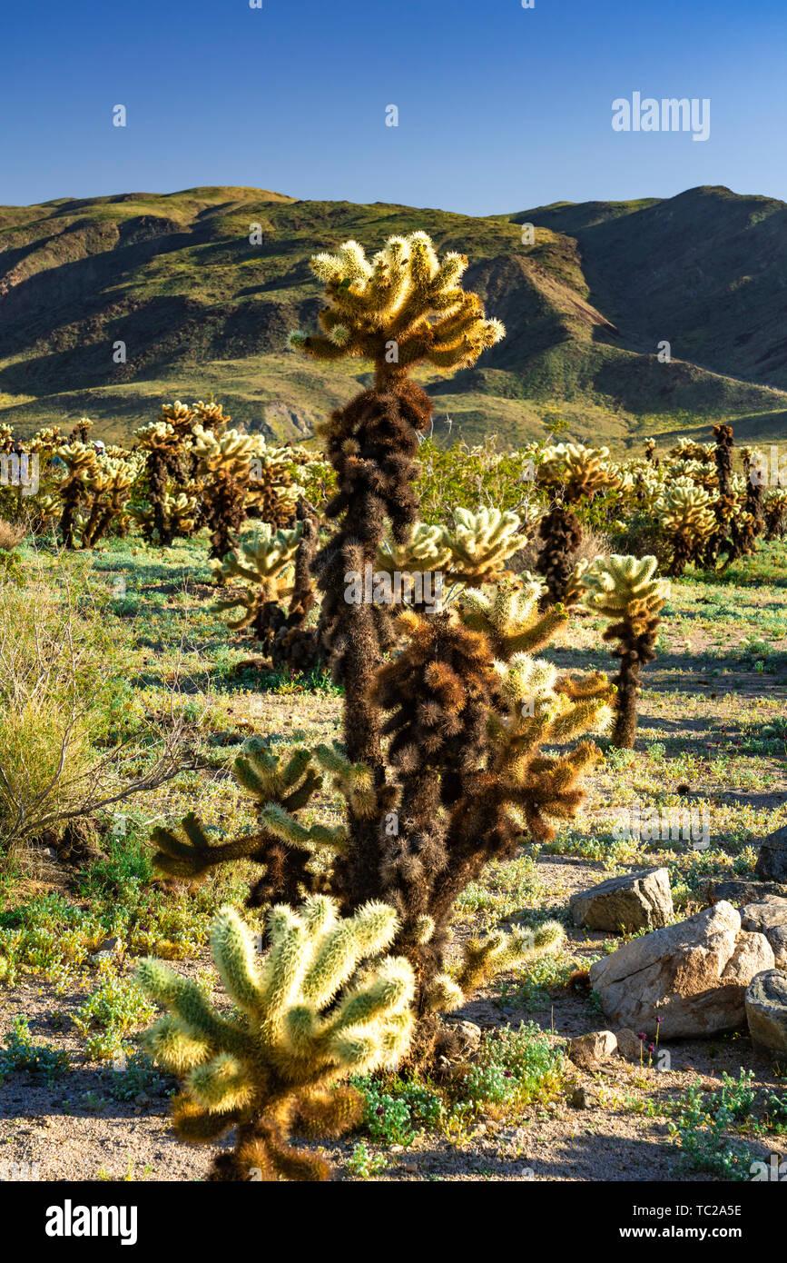 Blooming cholla desert cactus in stock photos blooming - Cholla cactus garden joshua tree ...