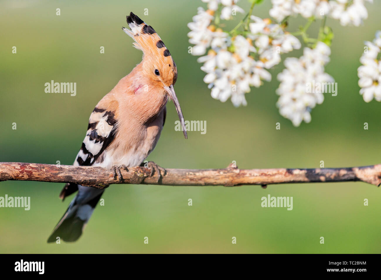 hoopoe sings in the colors of acacia Stock Photo