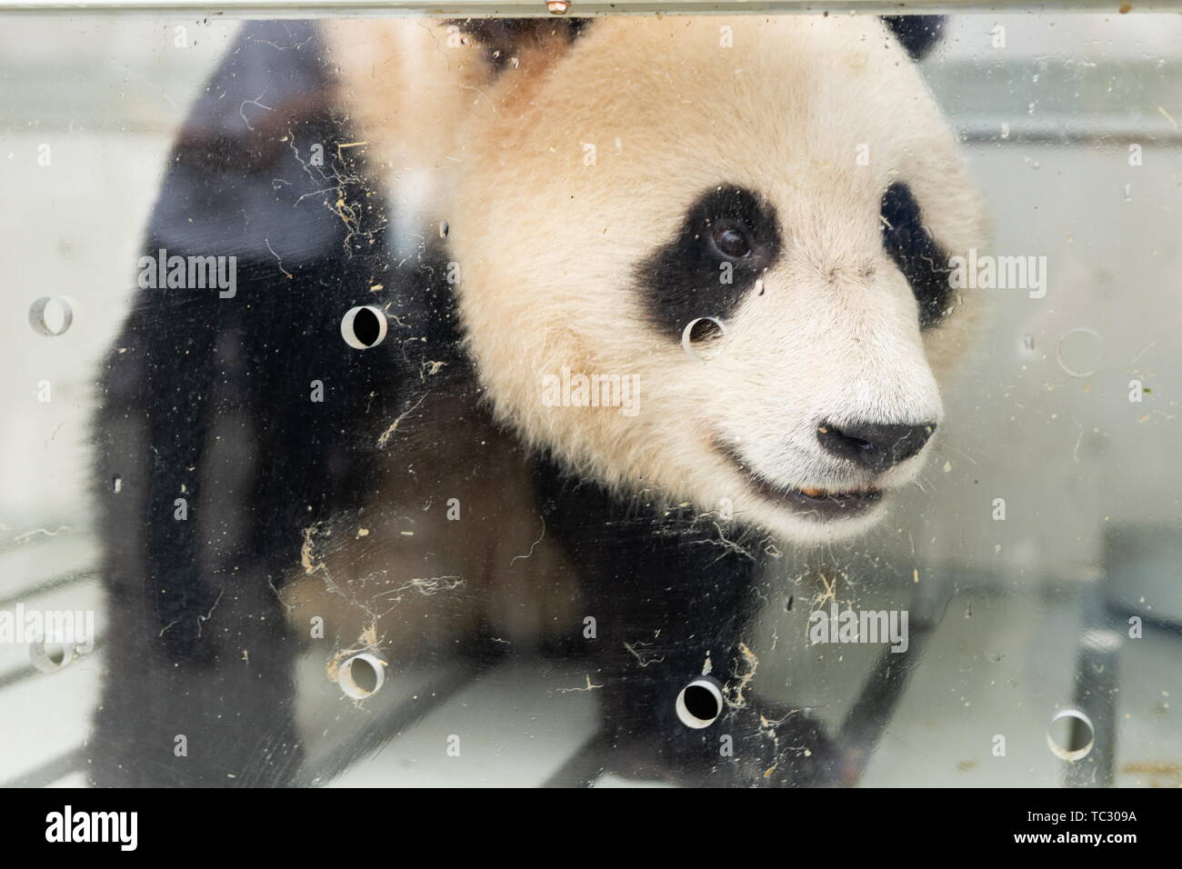 China. 29th Apr, 2019. CHENGDU, SICHUAN PROVINCE, CHINA - JUNE 5, 2019: Pictured in this file image dated April 29, 2019 is a giant panda ahead of being sent to Moscow. 3-year-old Ru Yi and 2-year-old Ding Ding are sent to the Moscow Zoo. The opening of the Moscow Zoo's panda pavilion is to be attended by Russian President Vladimir Putin and Chinese President Xi Jinping. File image/Artyom Ivanov/TASS Credit: ITAR-TASS News Agency/Alamy Live News - Stock Image