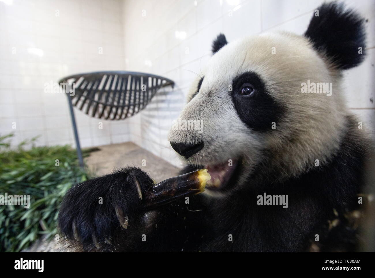 China. 29th Apr, 2019. CHENGDU, SICHUAN PROVINCE, CHINA - JUNE 5, 2019: Pictured in this file image dated April 29, 2019 is a giant panda at the Chengdu panda base. 3-year-old Ru Yi and 2-year-old Ding Ding are sent to the Moscow Zoo. The opening of the Moscow Zoo's panda pavilion is to be attended by Russian President Vladimir Putin and Chinese President Xi Jinping. File image/Artyom Ivanov/TASS Credit: ITAR-TASS News Agency/Alamy Live News - Stock Image