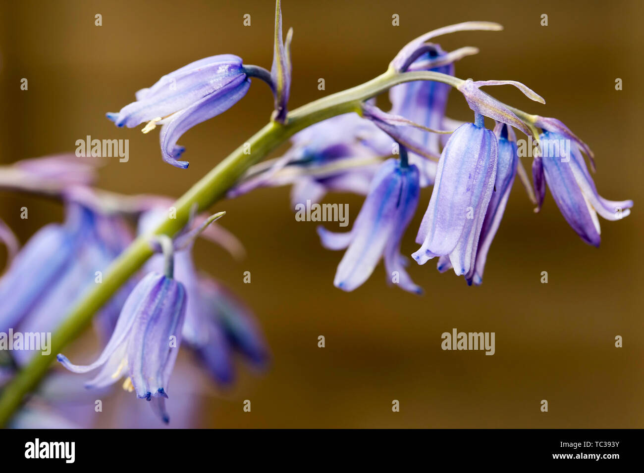 Bluebell bloom Wood At Dawn, Bluebells flowers, Hyacinthoides non-scripta field. Endymion non-scriptus - Stock Image