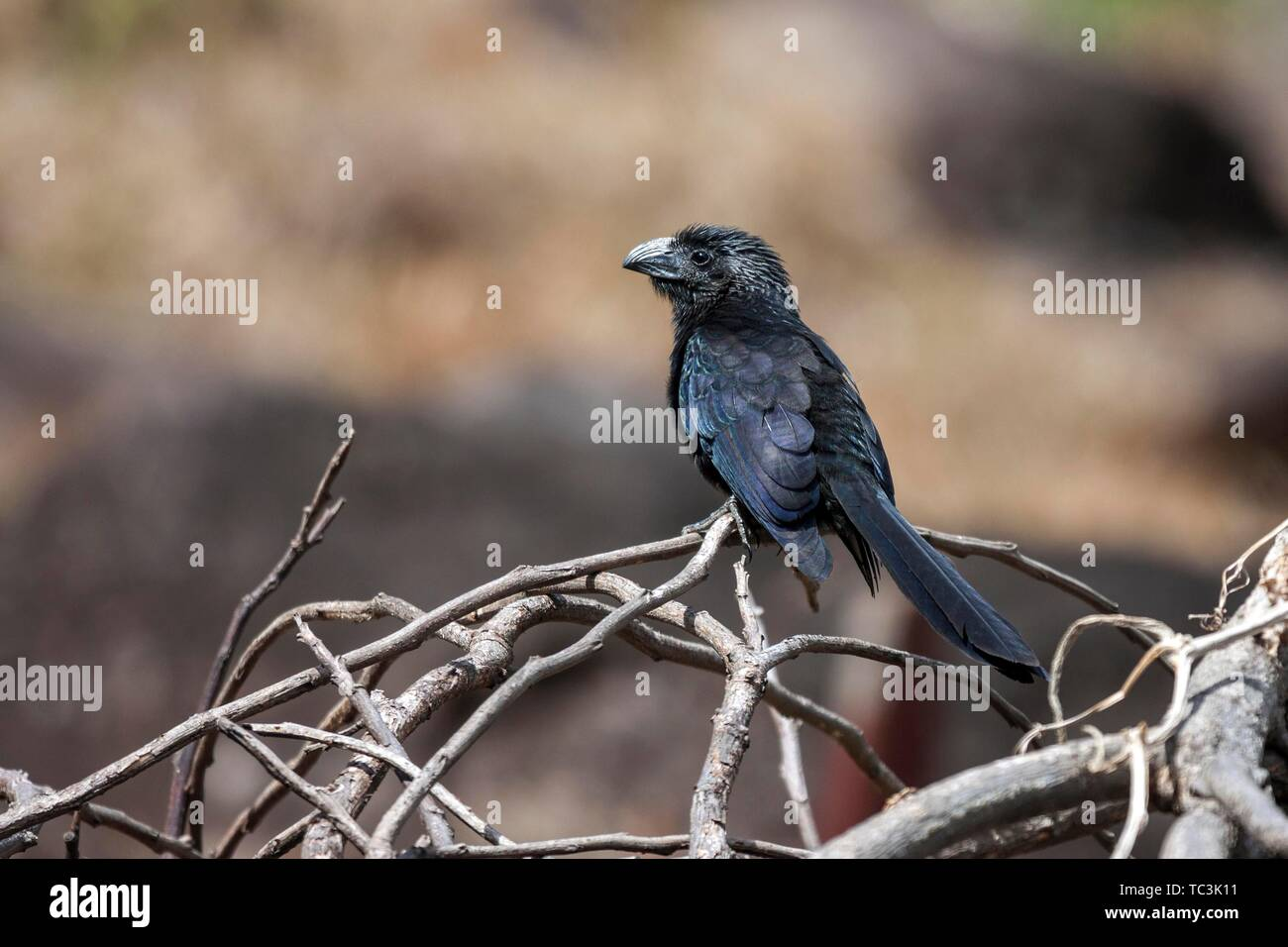 Groove-billed Ani (Crotophaga sulcirostris), sits on twig, Guanacaste Province, Costa Rica - Stock Image