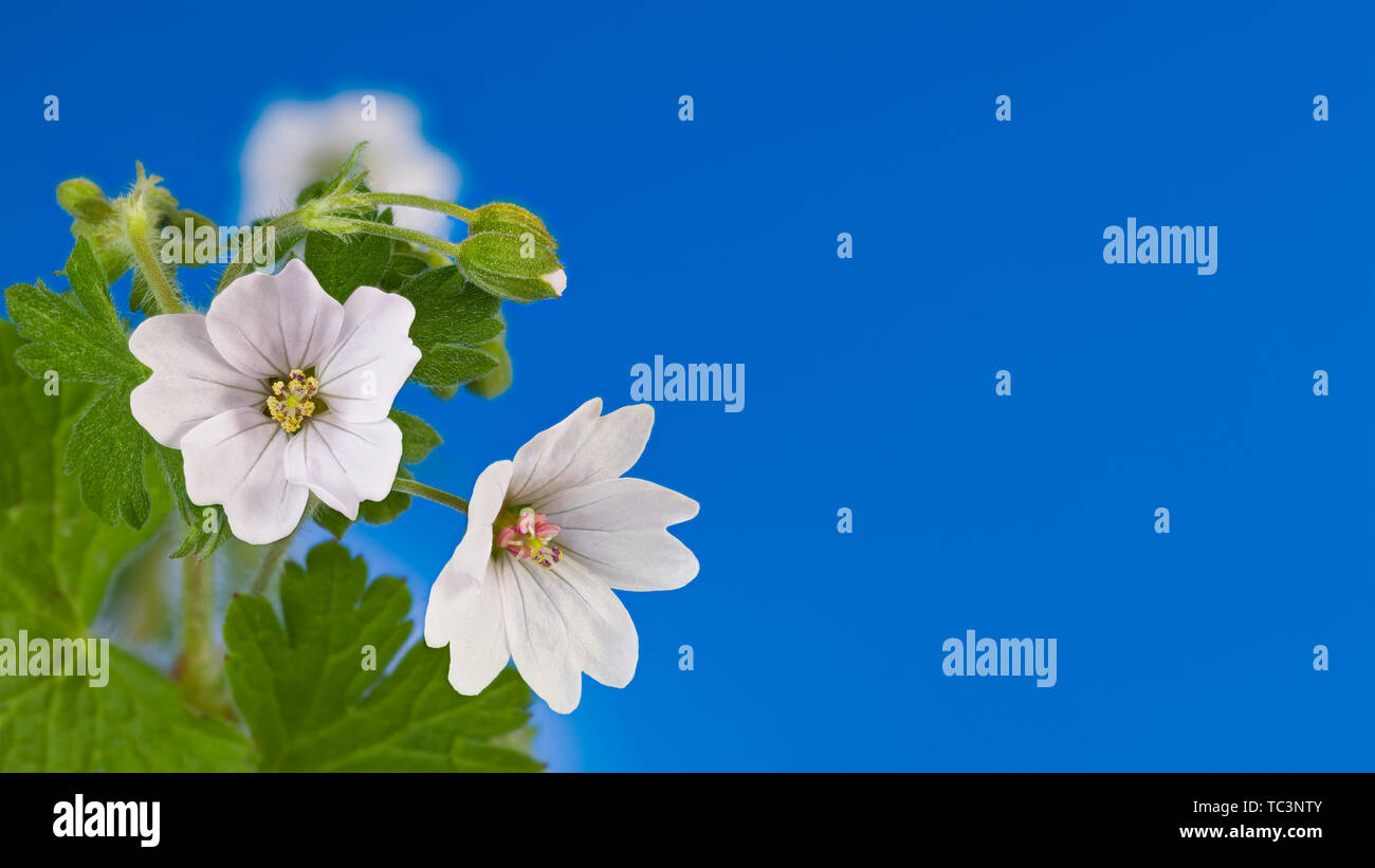 Flowering cranesbills. Atypical white color. Geranium pyrenaicum. Romantic blooms and buds, sunny sky. Green hairy leaves and stems on blue backgroud. - Stock Image