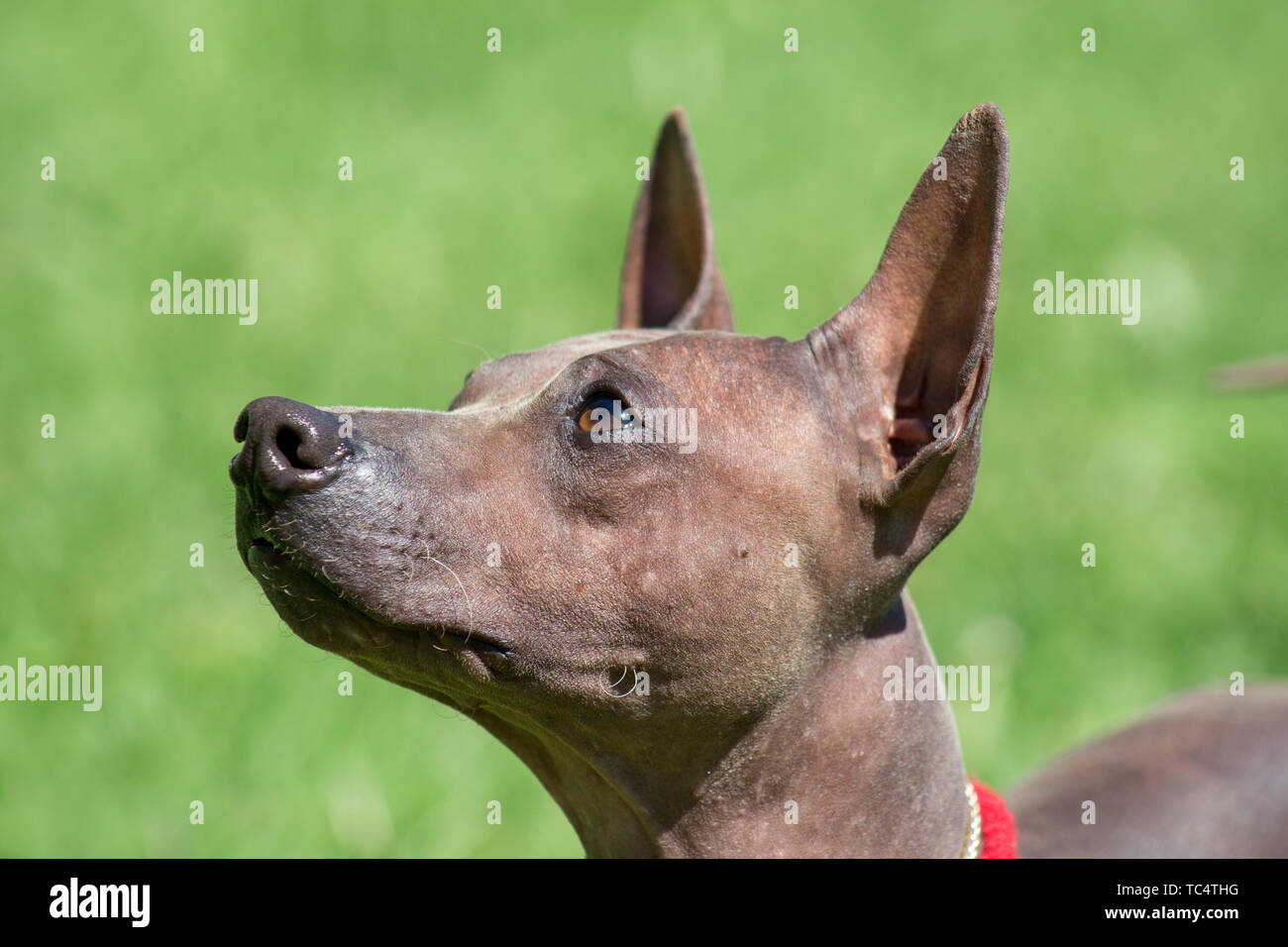 Portrait of american hairless terrier puppy. Pet animals. Purebred dog. - Stock Image