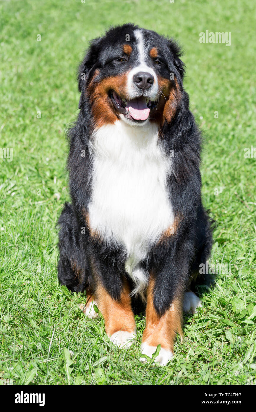 Cute Bernese Mountain Dog Puppy Is Sitting On A Green Meadow Berner Sennenhund Or Bernese Cattle Dog Pet Animals Stock Photo Alamy