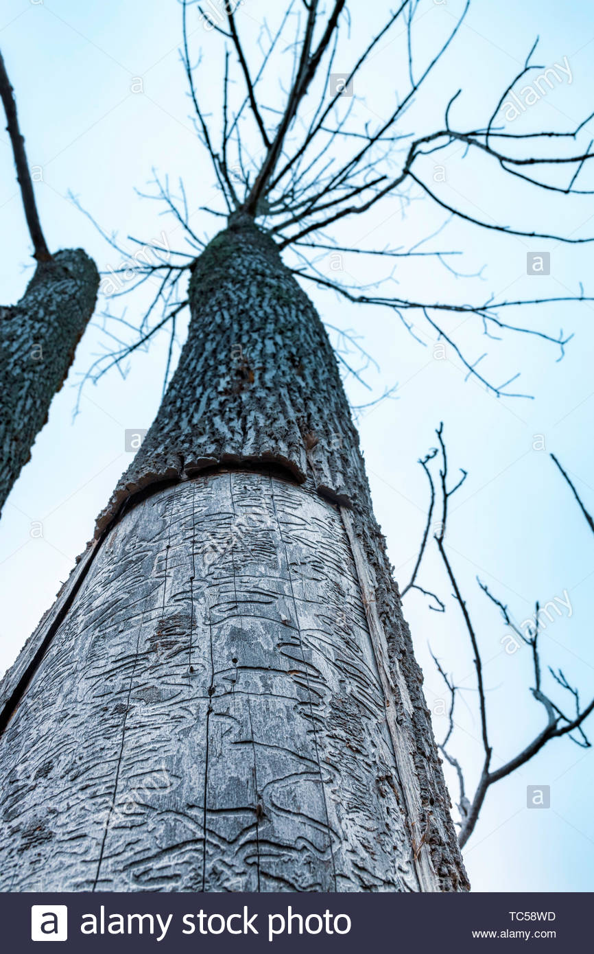 Emerald Ash Borer (Agrilus planipennis) tracks or galleries damage left under the tree bark that killed the tree. - Stock Image
