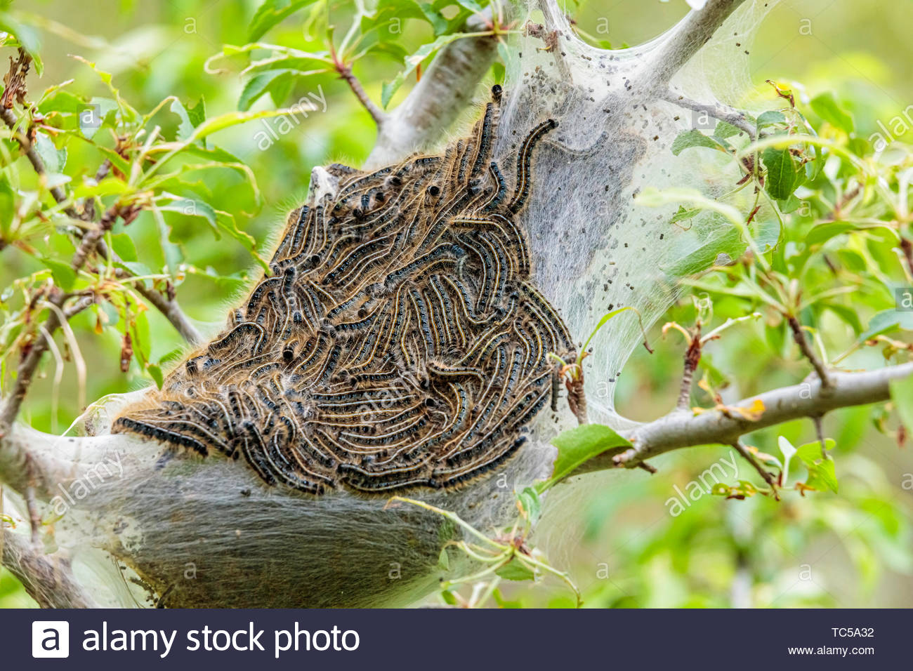 Malacosoma americanum Eastern Tent Caterpillar larval stage basking on communal tent on tree in Ontario Canada. - Stock Image