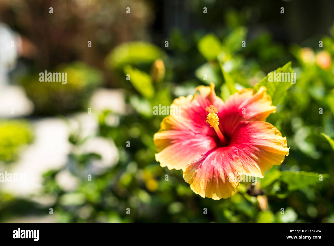 Two tones color hibiscus flowers blurred background - Stock Image