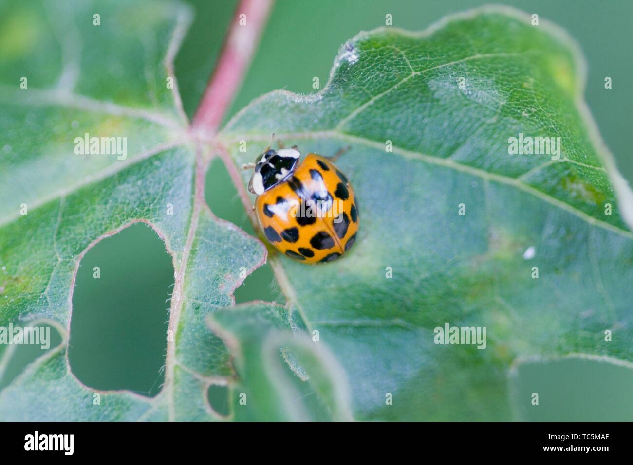 Harlequin Ladybird, Harmonia axyridis, large ladybird which have multiple colora variations with dots 0-22. Most common form is red or orange with 14 - Stock Image